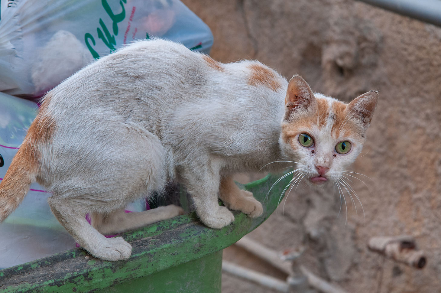 Cat on a dumpster at Al Nabaah St., Musheirib area. Doha, Qatar