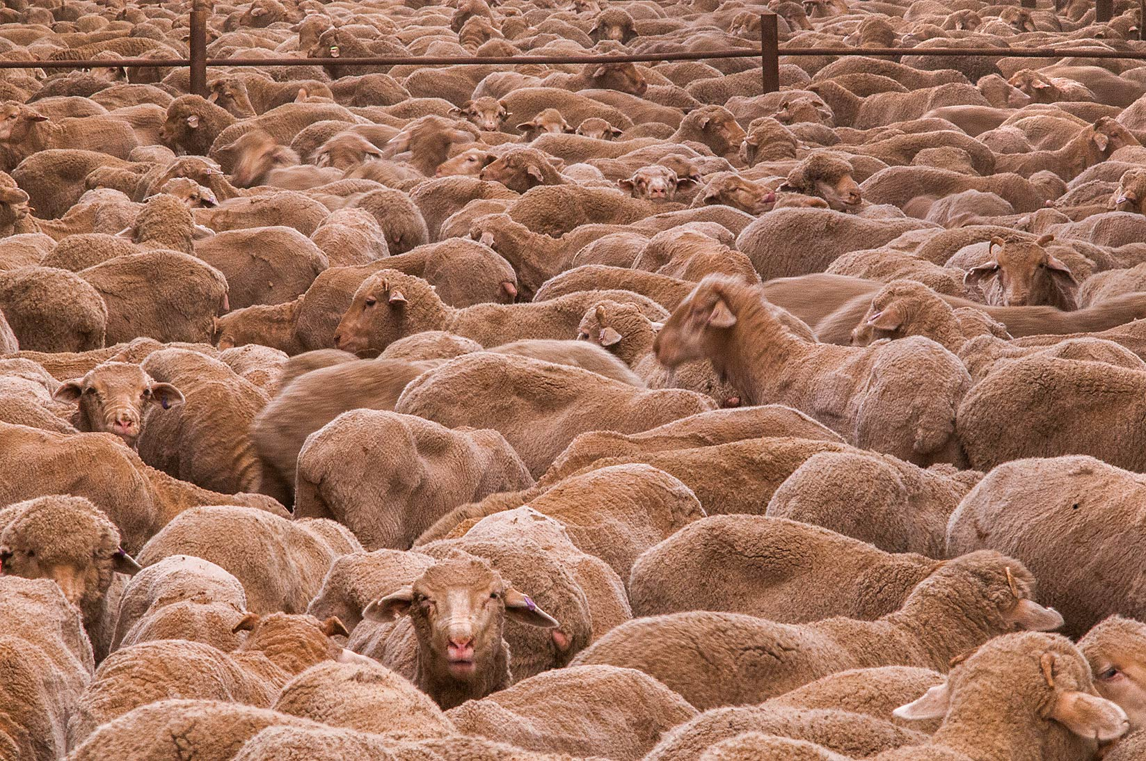 Sheep masses in overcrowded feedlot in Livestock Market, Abu Hamour area. Doha, Qatar