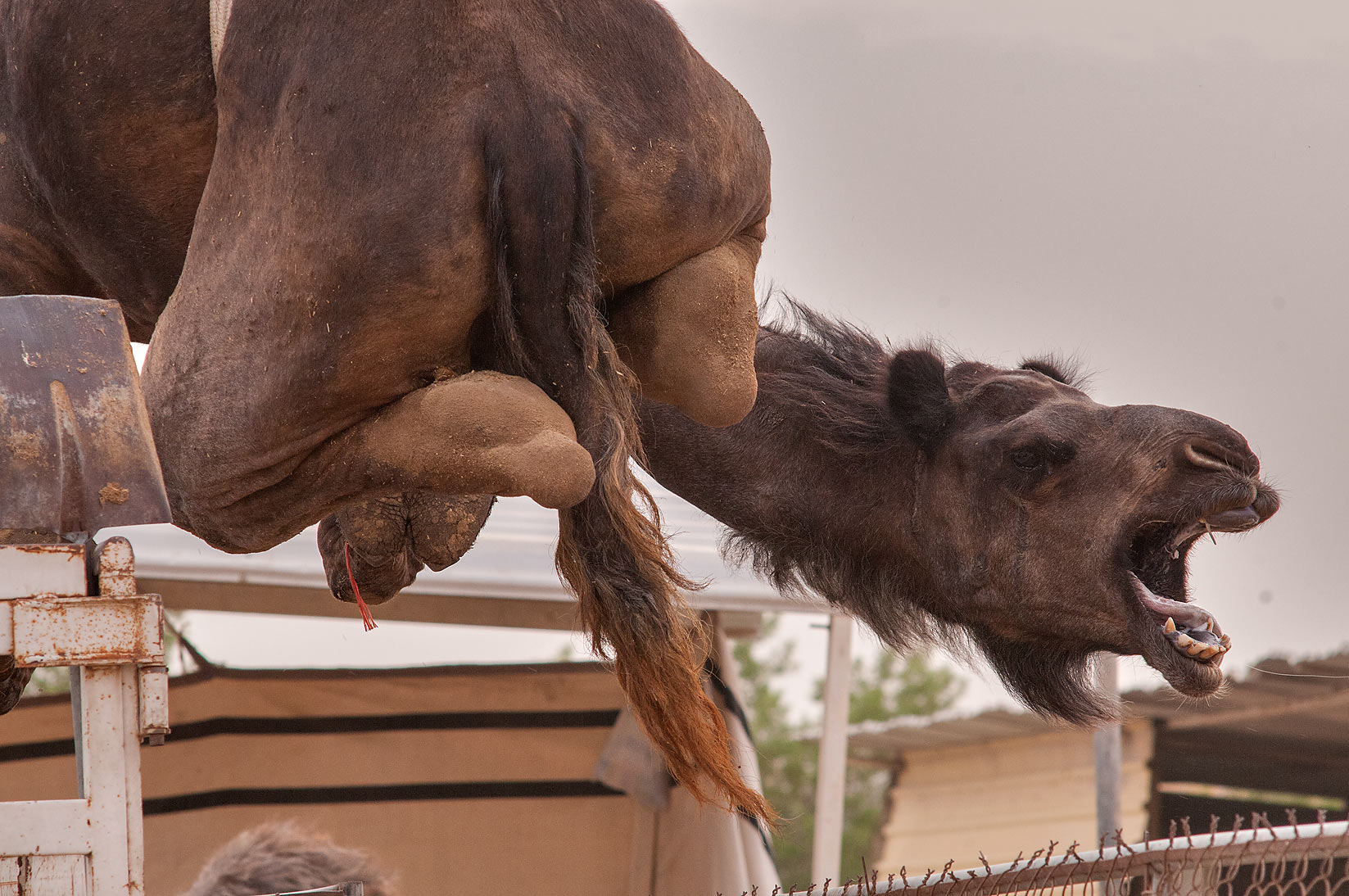 Large camel loaded by crane to a truck after it...Market, Abu Hamour area. Doha, Qatar
