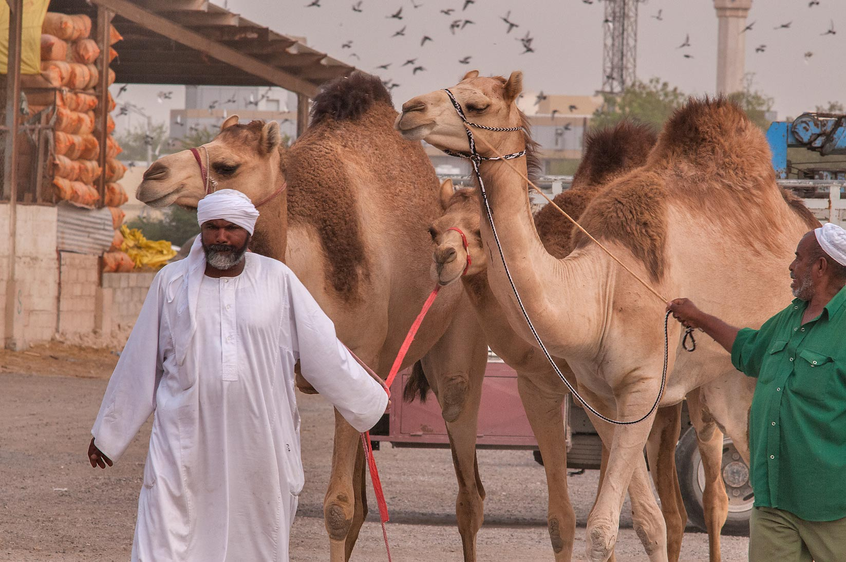 Directing camels in Livestock Market, Abu Hamour area. Doha, Qatar