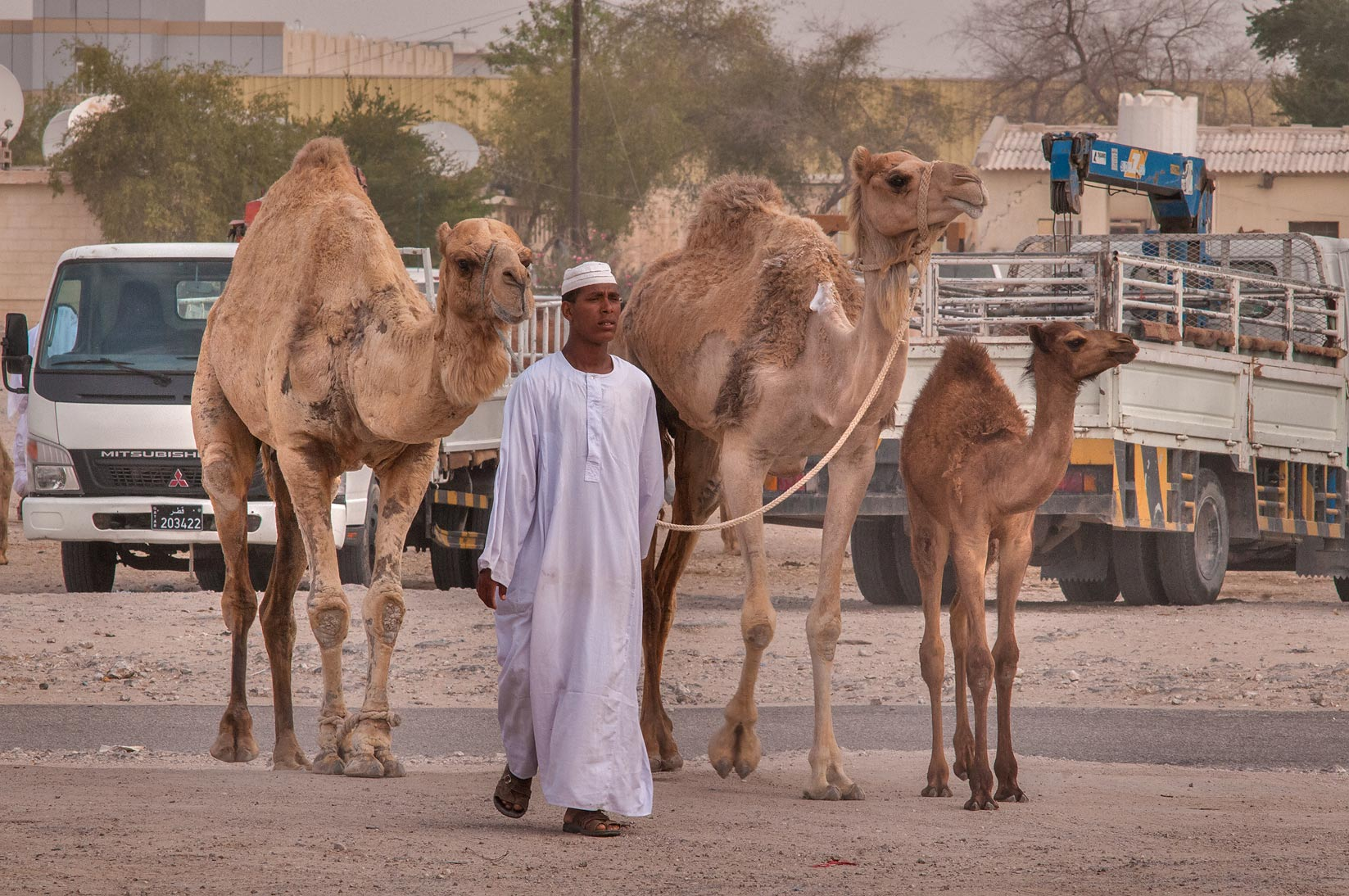 Person with three camels in Livestock Market, Abu Hamour area. Doha, Qatar