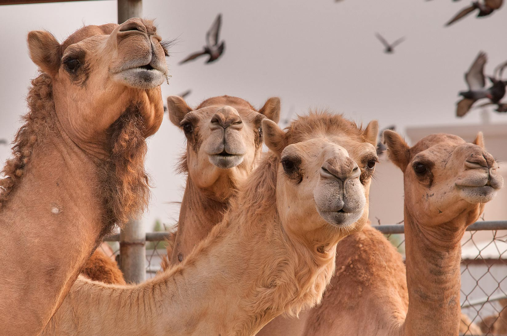 Group of camels in Livestock Market, Abu Hamour area. Doha, Qatar