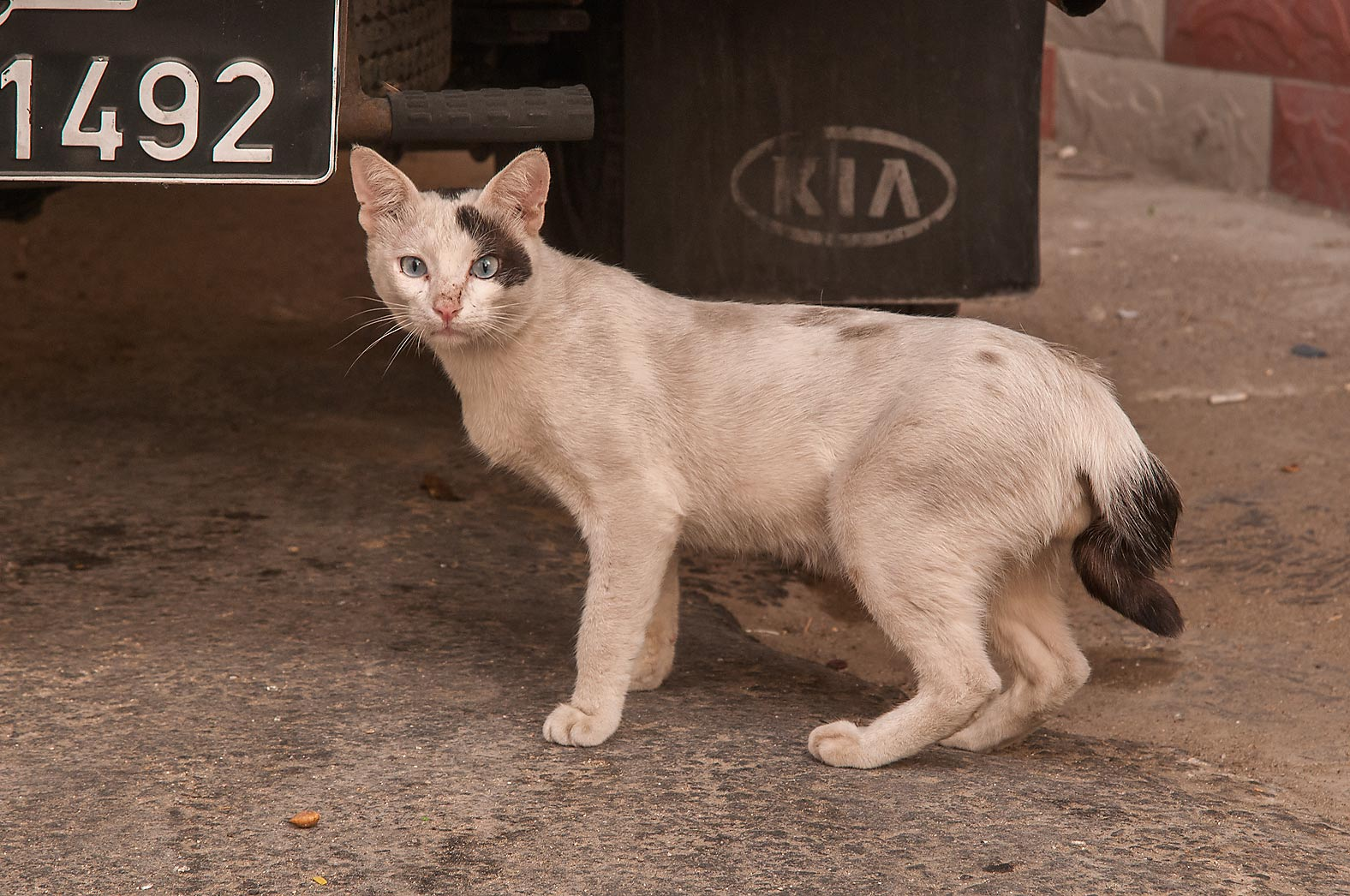 White cat with black spots at a corner of Al...Al Taawon in Najma area. Doha, Qatar