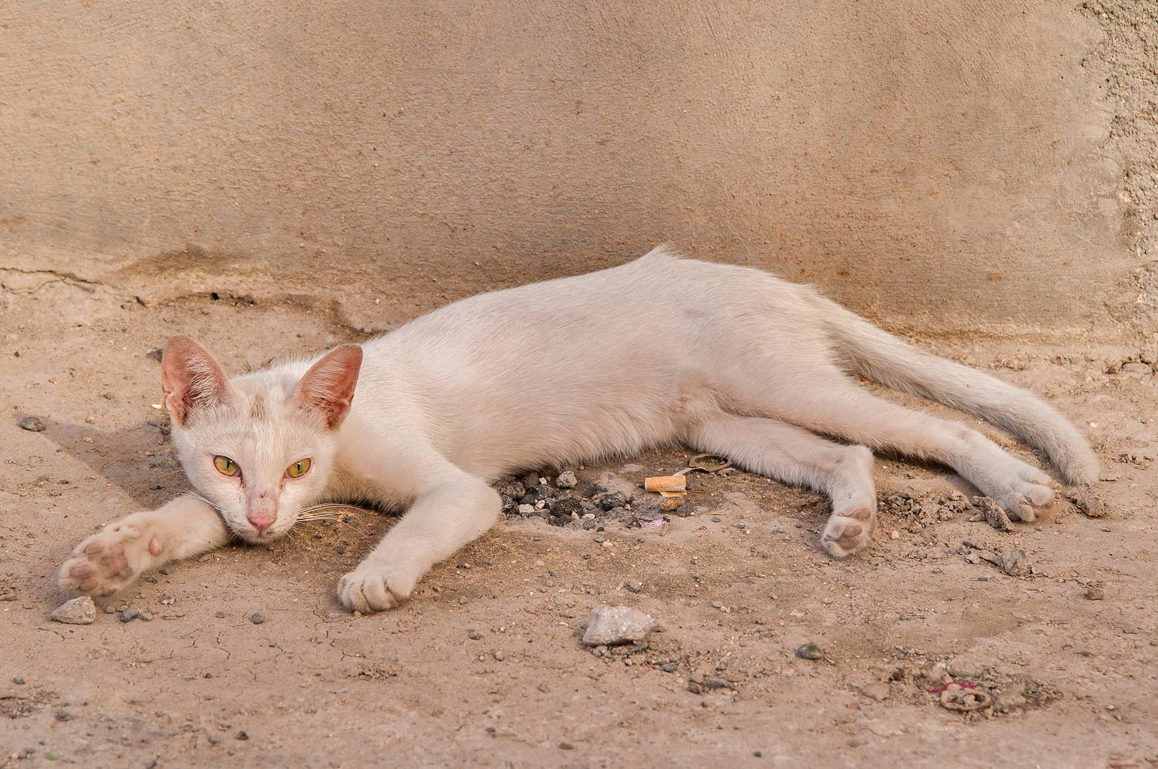 White cat resting in sikka (alley at Sikkat Ibn...Dawakhil St., Najma area. Doha, Qatar