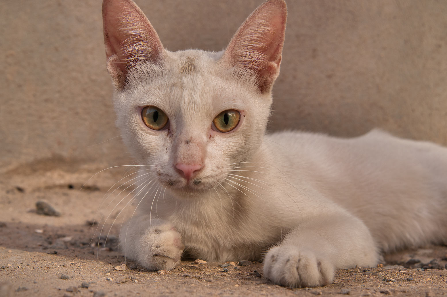 White cat at Sikkat Ibn Al Rabei near Al Dawakhil St., Najma area. Doha, Qatar