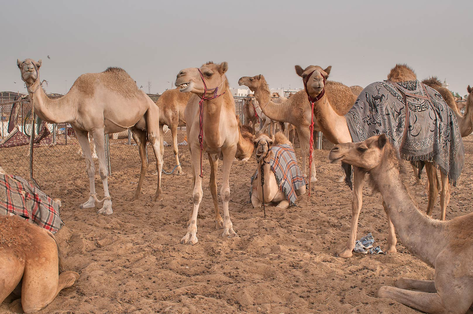 Group of standing camels in Livestock Market, Abu Hamour area. Doha, Qatar
