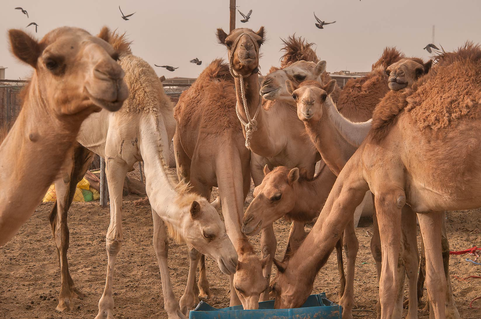 Group of feeding camels in Livestock Market, Abu Hamour area. Doha, Qatar