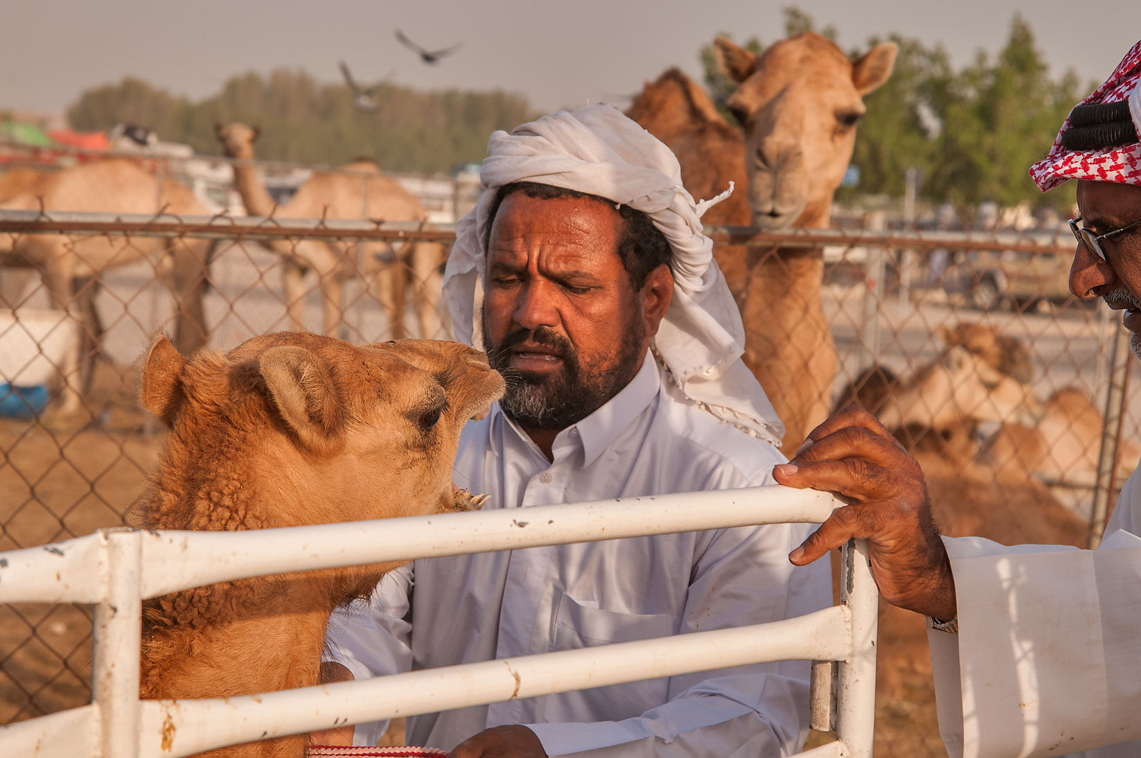 Consolation of a crying camel on a truck in Livestock Market, Abu Hamour area. Doha, Qatar