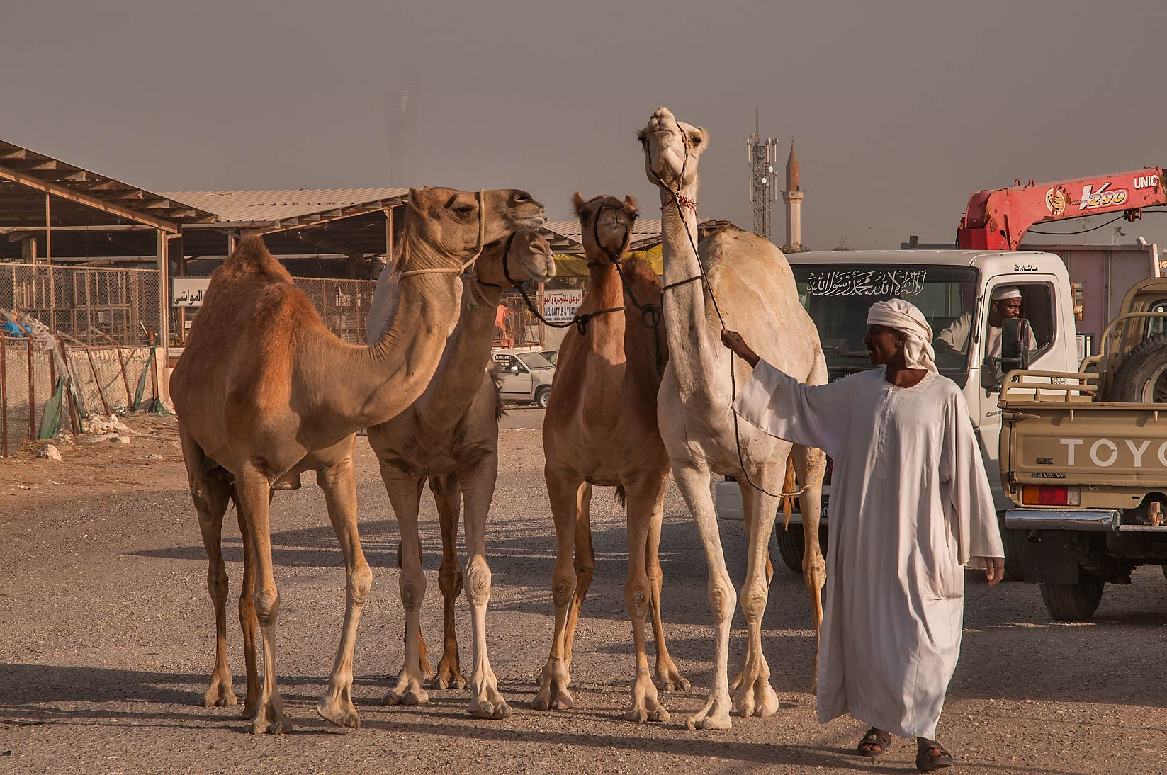 Person directing four camels in Livestock Market, Abu Hamour area. Doha, Qatar