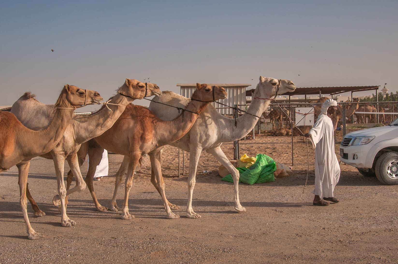 Person directing four camels arranged in caravan...Market, Abu Hamour area. Doha, Qatar