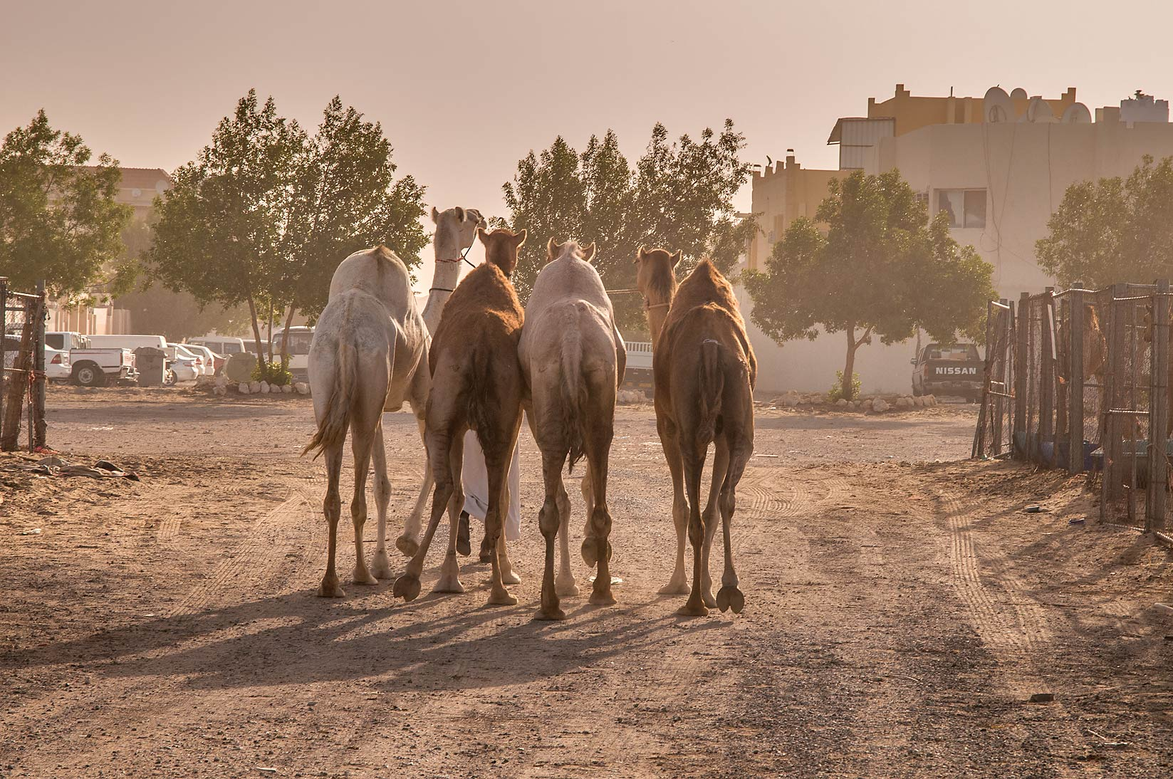 Four camels walking on a dusty road in Livestock Market, Abu Hamour area. Doha, Qatar