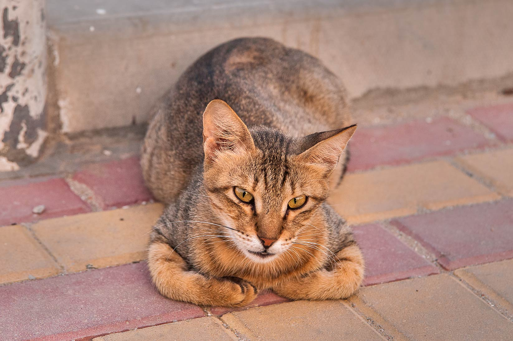 Tabby cat sitting near Wholesale Fish Market in Abu Hamour. Doha, Qatar