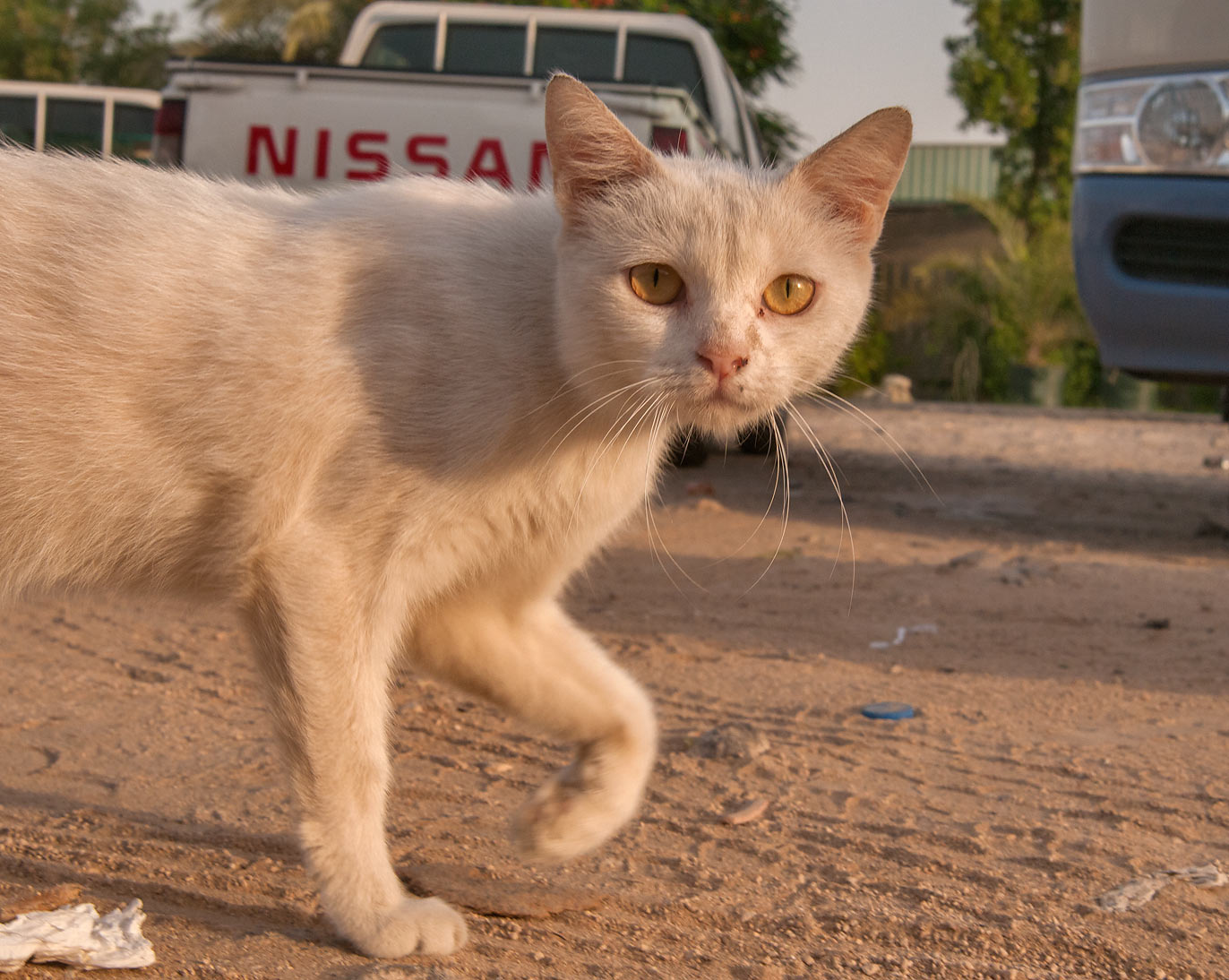 White cat with yellow eyes walking near Omani Market, Abu Hamour area. Doha, Qatar