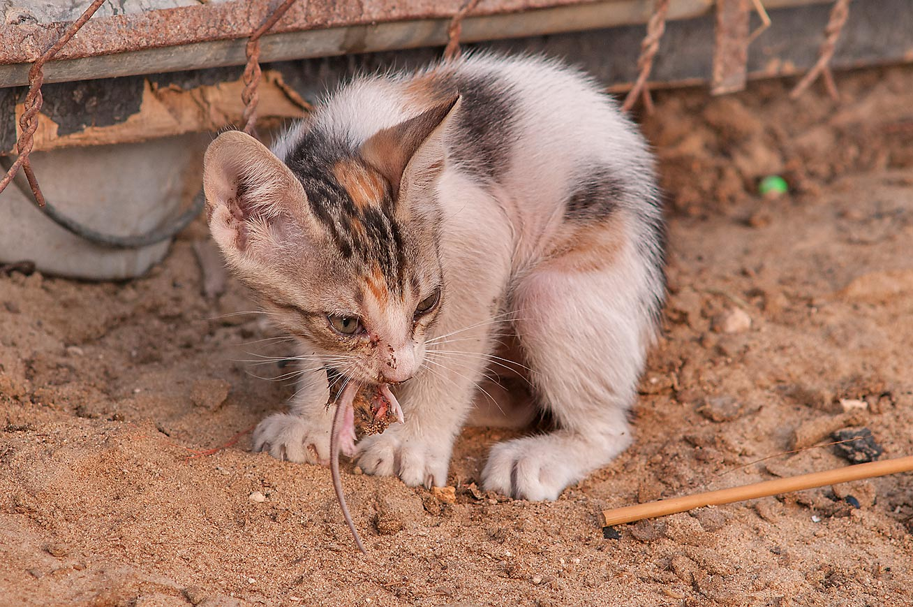 Kitten eating a mouse for breakfast in Camel...area in Abu Hamour. Doha, Qatar