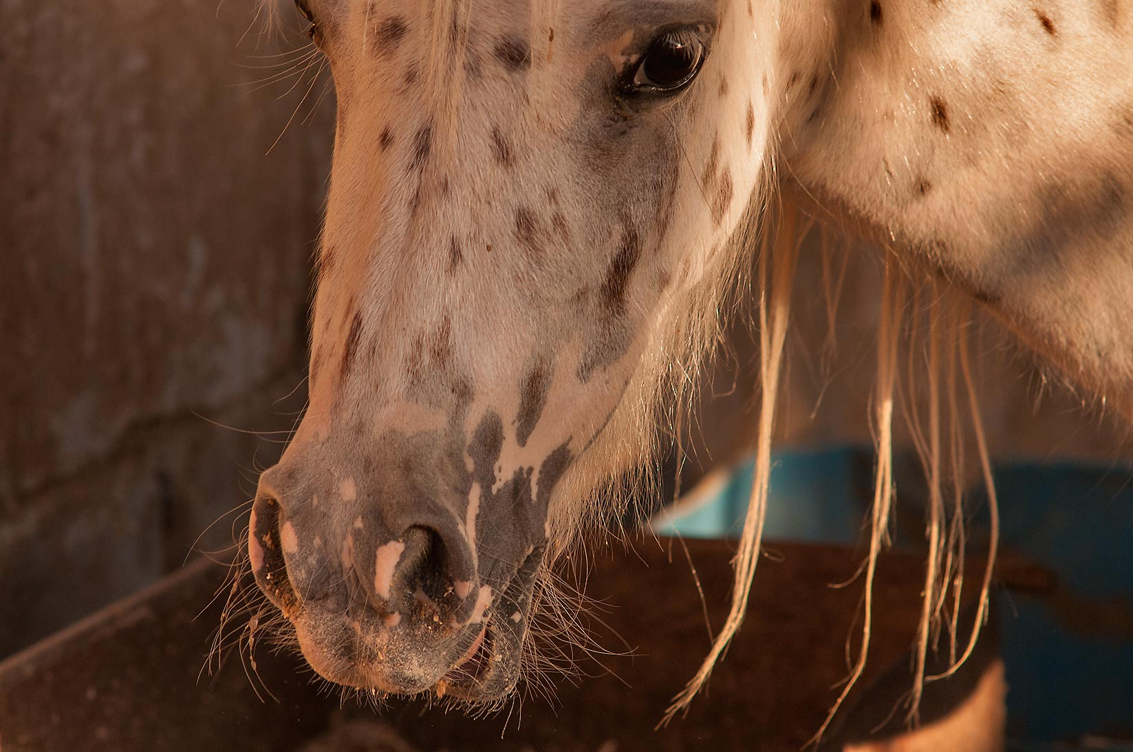 Arabian horse in Livestock Markets area in Abu Hamour. Doha, Qatar
