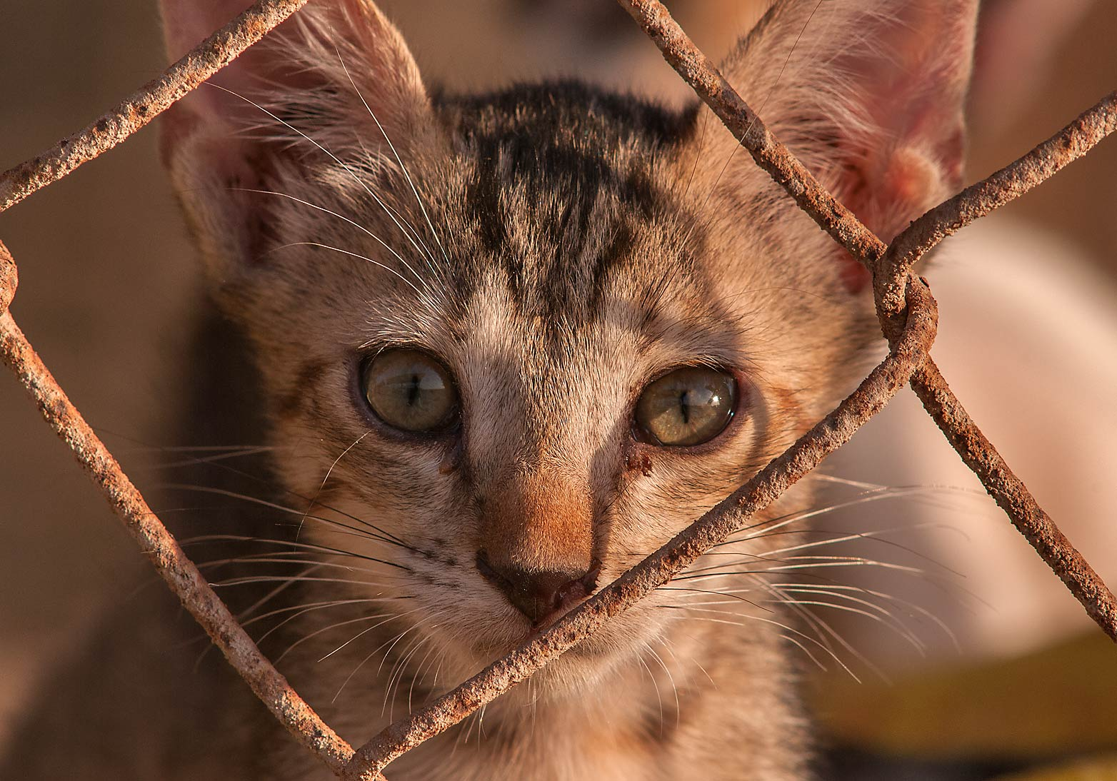 Tabby kitten behind fence in sheep pen, Livestock Markets area in Abu Hamour. Doha, Qatar