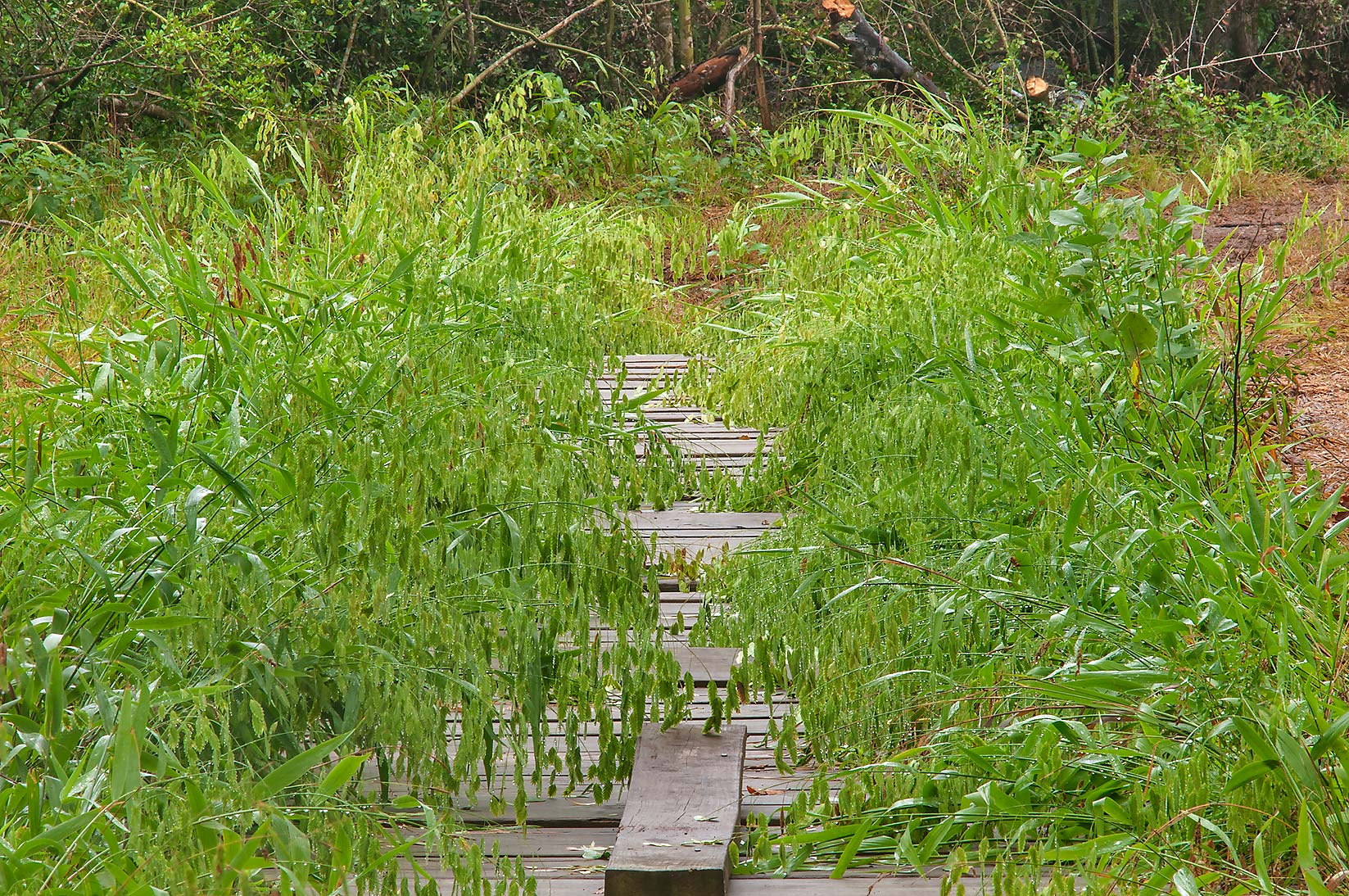 Boardwalk overgrown by wood oats (Chasmanthium...Creek Park. College Station, Texas