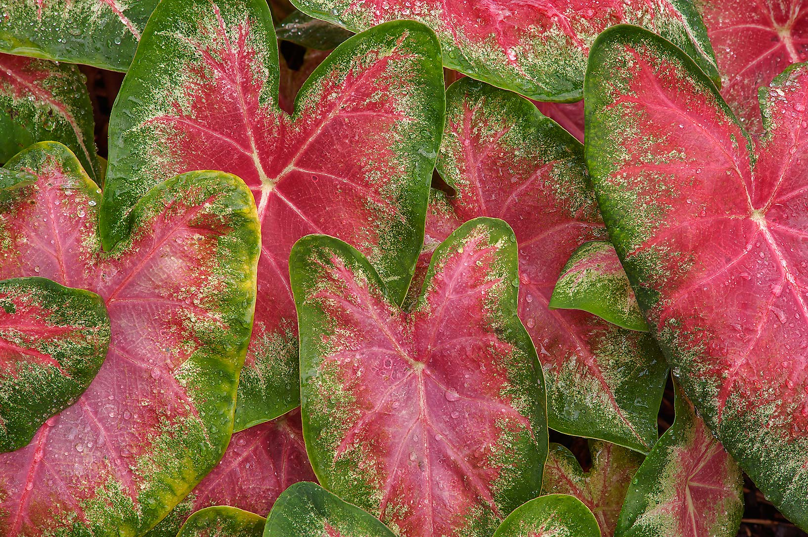 Leaves of caladium in Mercer Arboretum and Botanical Gardens. Humble (Houston area), Texas