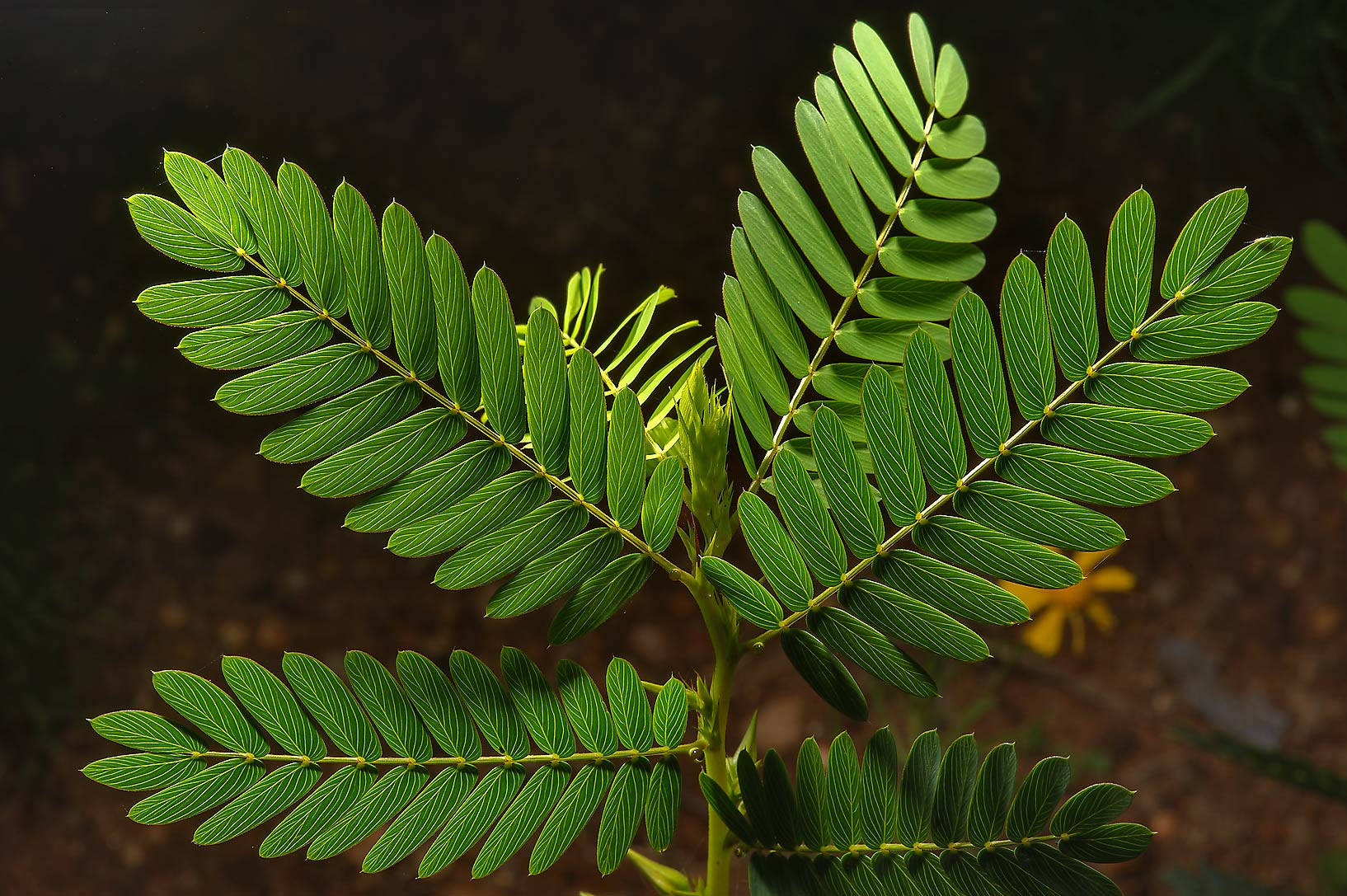 Backlit leaves of Partridge pea (Cassia...Creek Park. College Station, Texas
