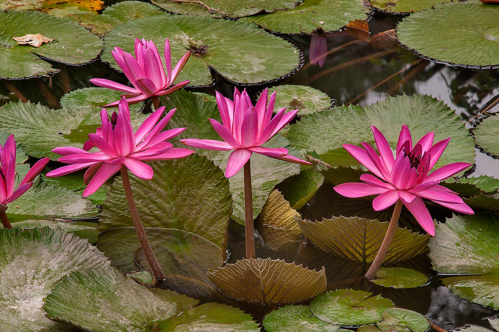 Pink water lilies in Antique Rose Emporium. Independence, Texas