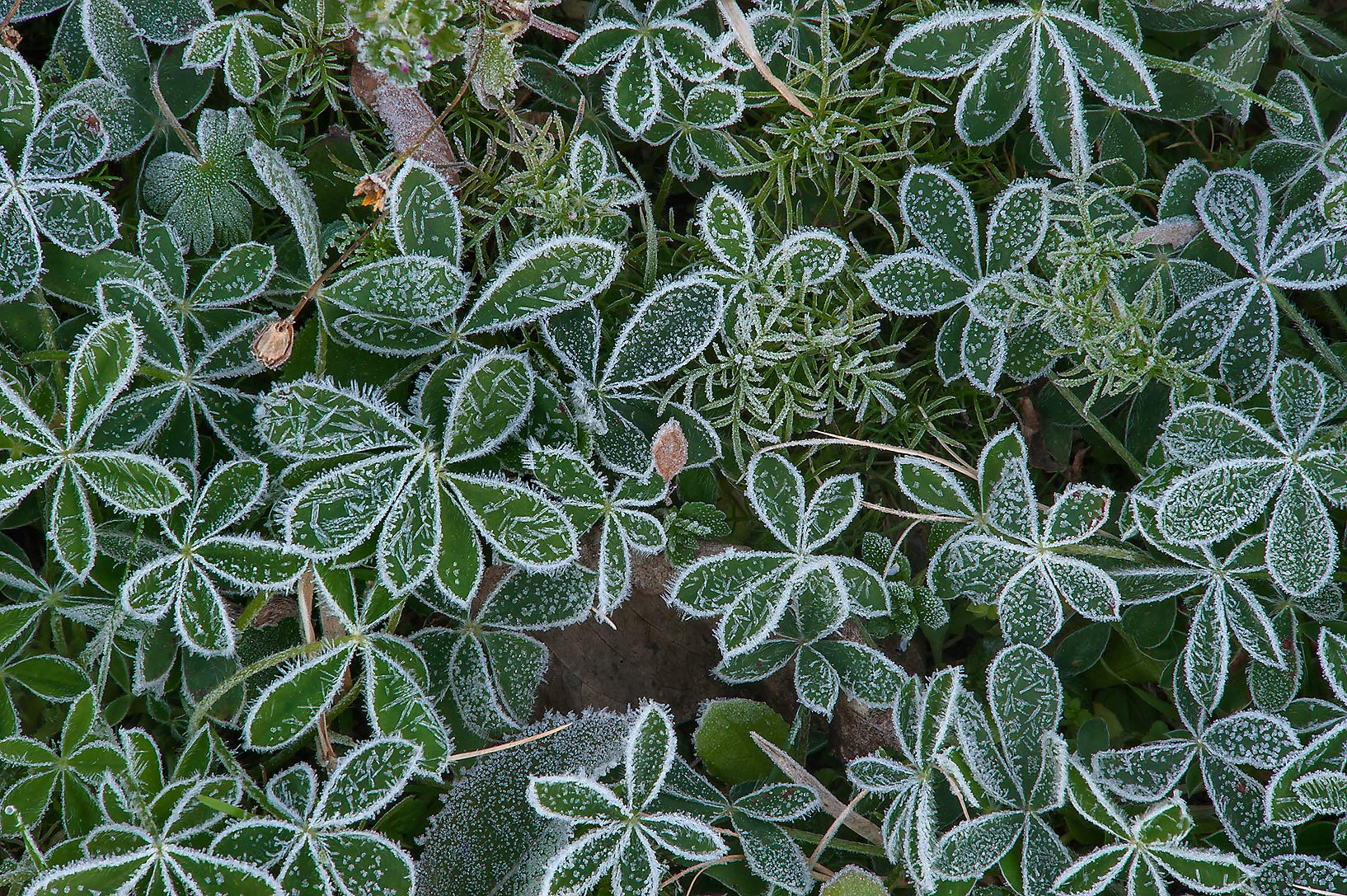 Rosettes of bluebonnet leaves in freeze in TAMU...M University. College Station, Texas
