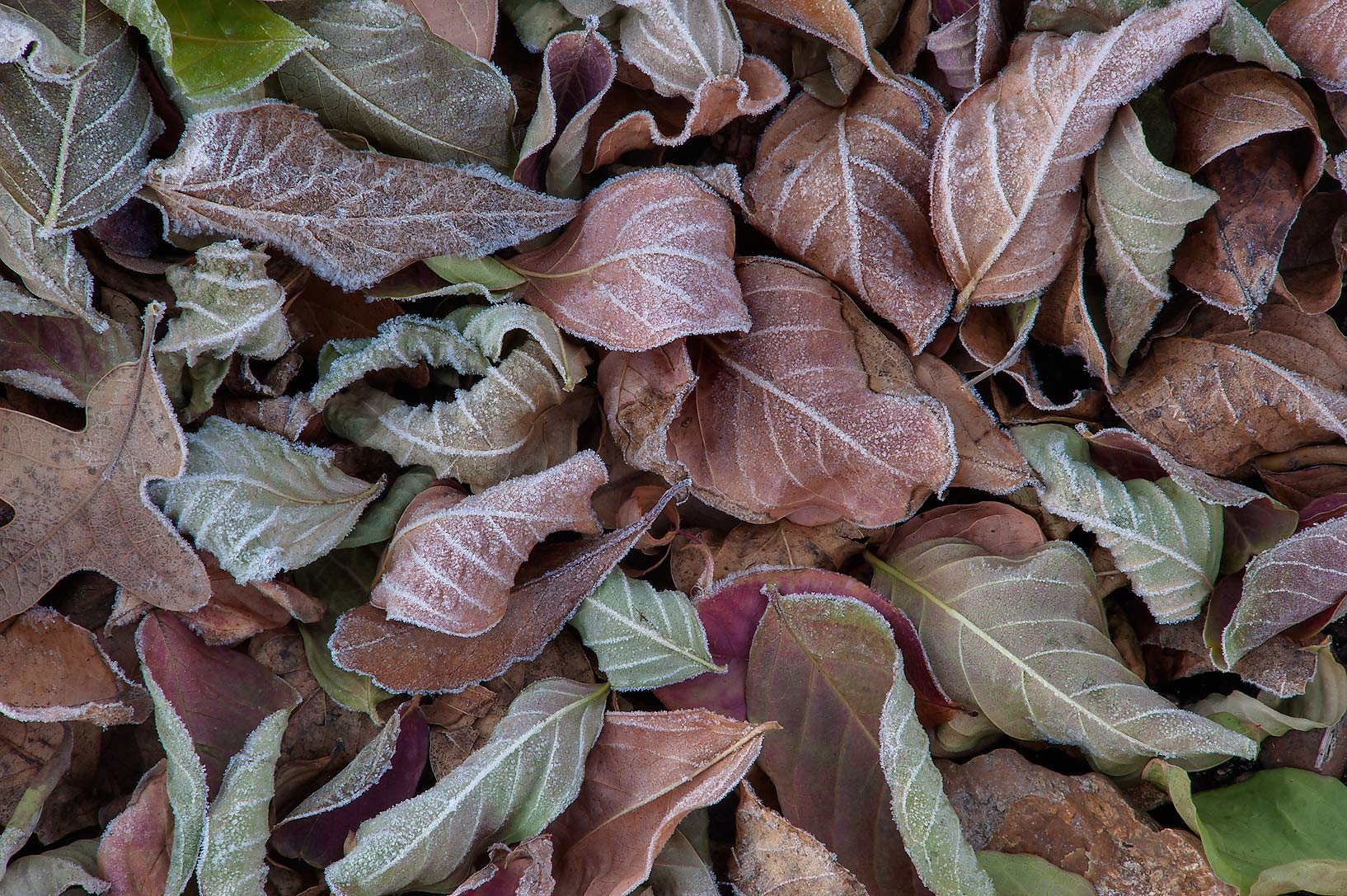 Dry fallen leaves in freeze in TAMU Horticultural...M University. College Station, Texas