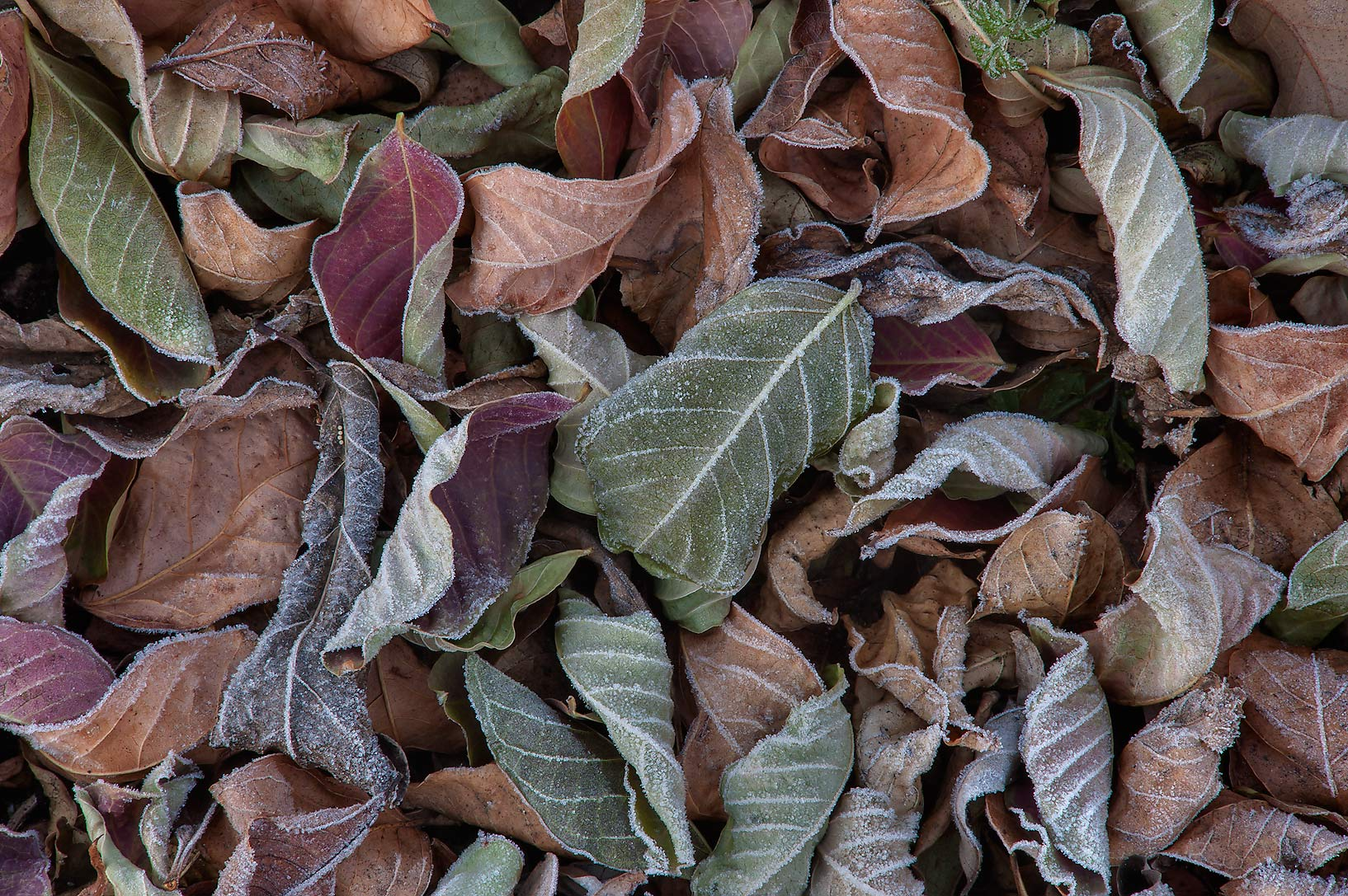 Pile of dry leaves in freeze in TAMU...M University. College Station, Texas