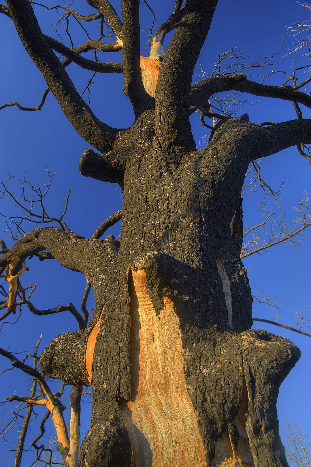 Burnt oak tree in Bastrop State Park. Bastrop, Texas