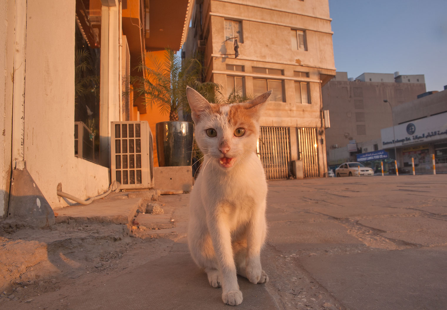 White cat at sunrise in Musheirib neighborhood. Doha, Qatar