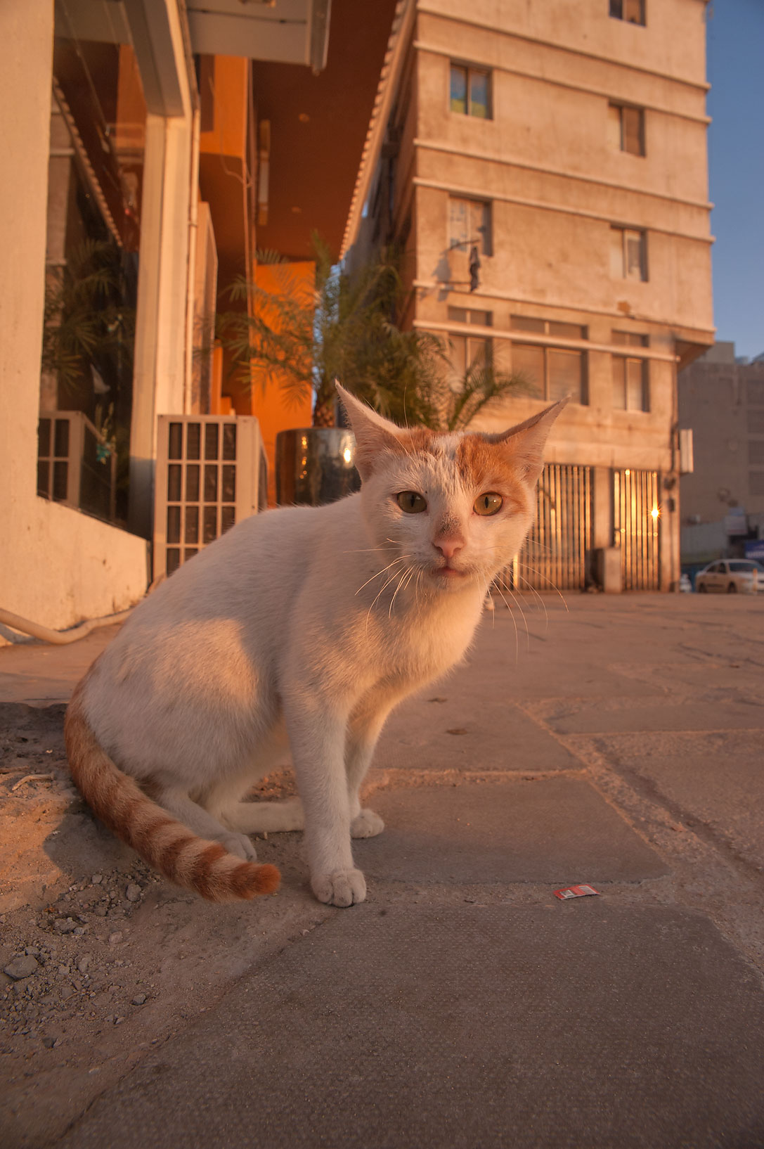 Street cat at sunrise in Musheirib neighborhood. Doha, Qatar