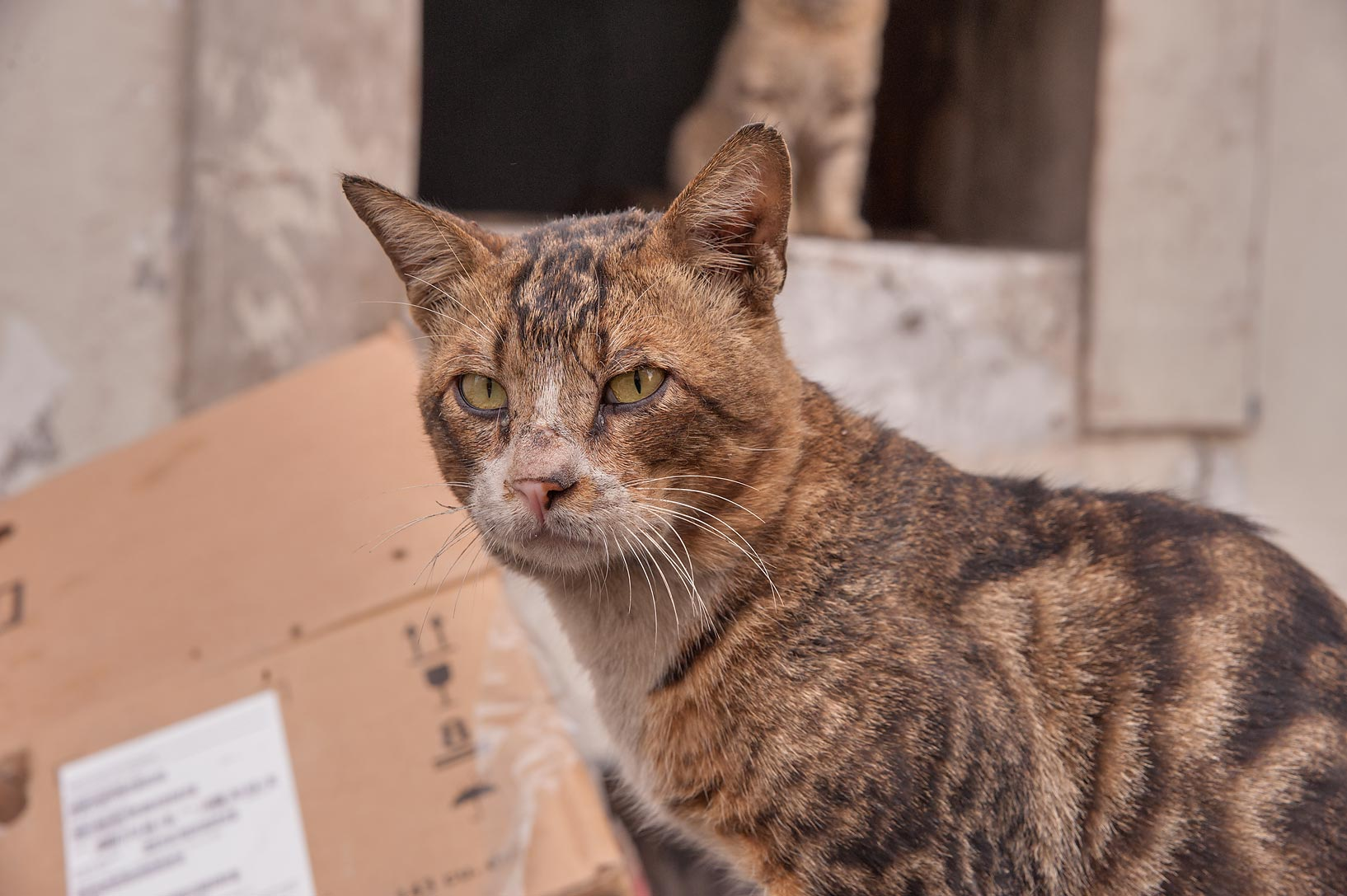 Tabby cat at Zurara Bin Amir St. in Al Doha Al Jadeeda neighborhood. Doha, Qatar