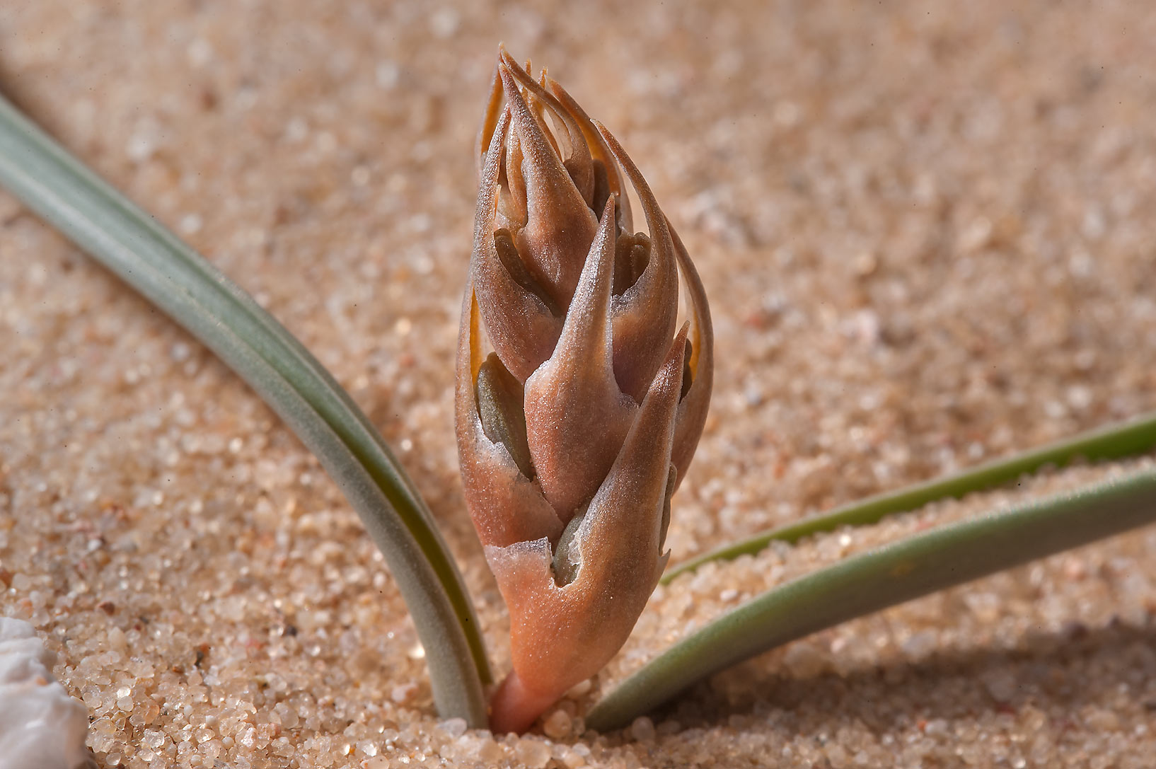 Flower bud of Brown Lily (Dipcadi erythraeum...Jebel Al-Nakhsh in south-western Qatar