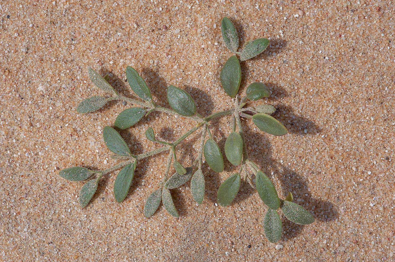 Seedling of Fagonia ovalifolia on sand in area of Jebel Al-Nakhsh in south-western Qatar