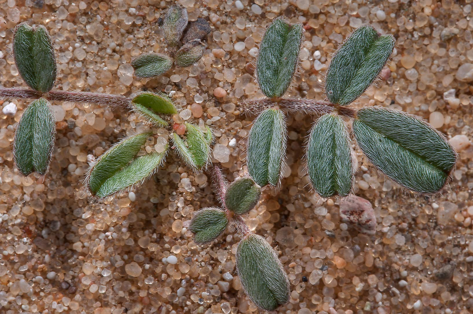 Hairy leaves of Astragalus eremophilus on sand in...Jebel Al-Nakhsh in south-western Qatar