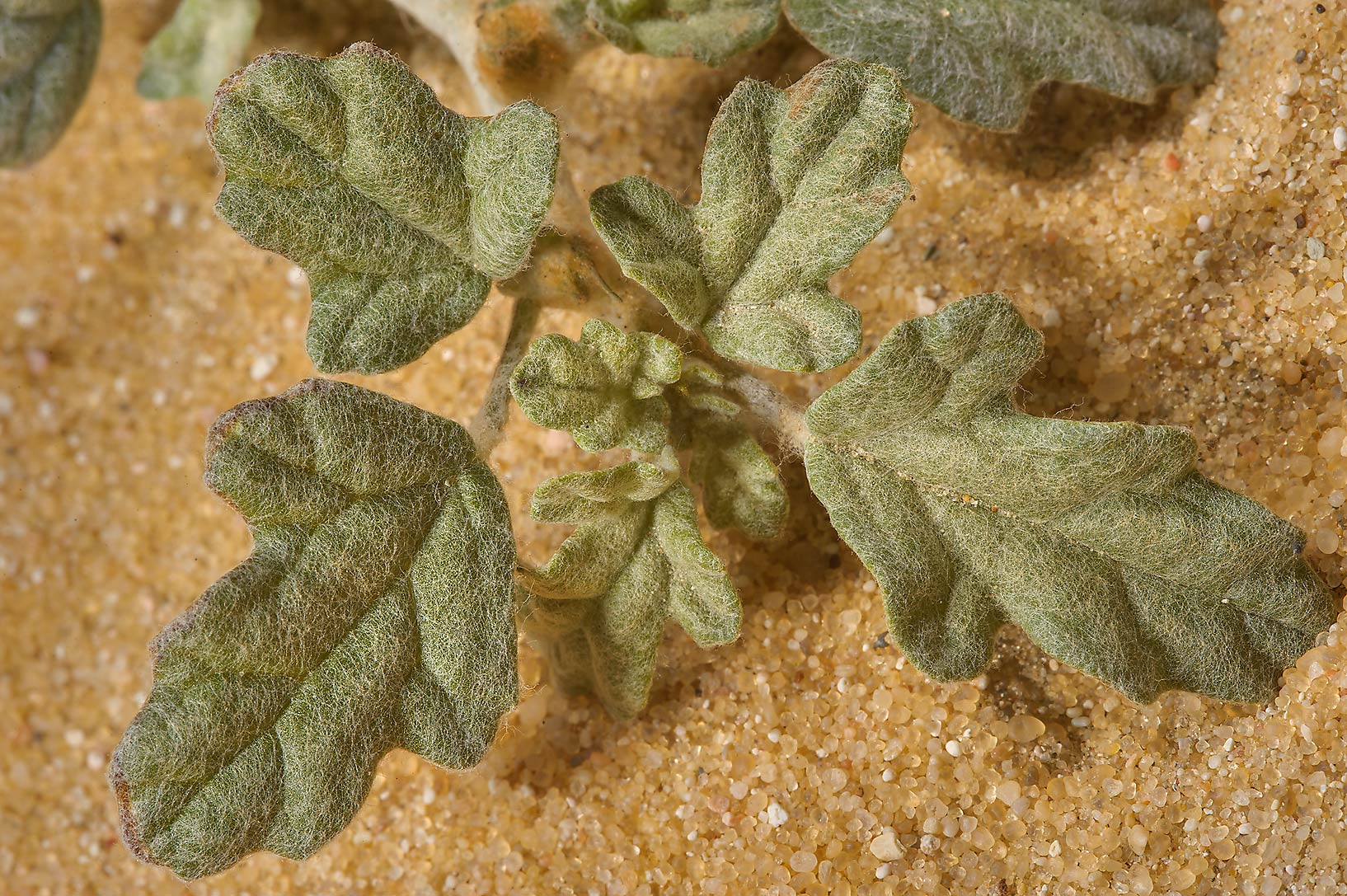 Sand button (creeping thorn rose, Neurada...Jebel Al-Nakhsh in south-western Qatar