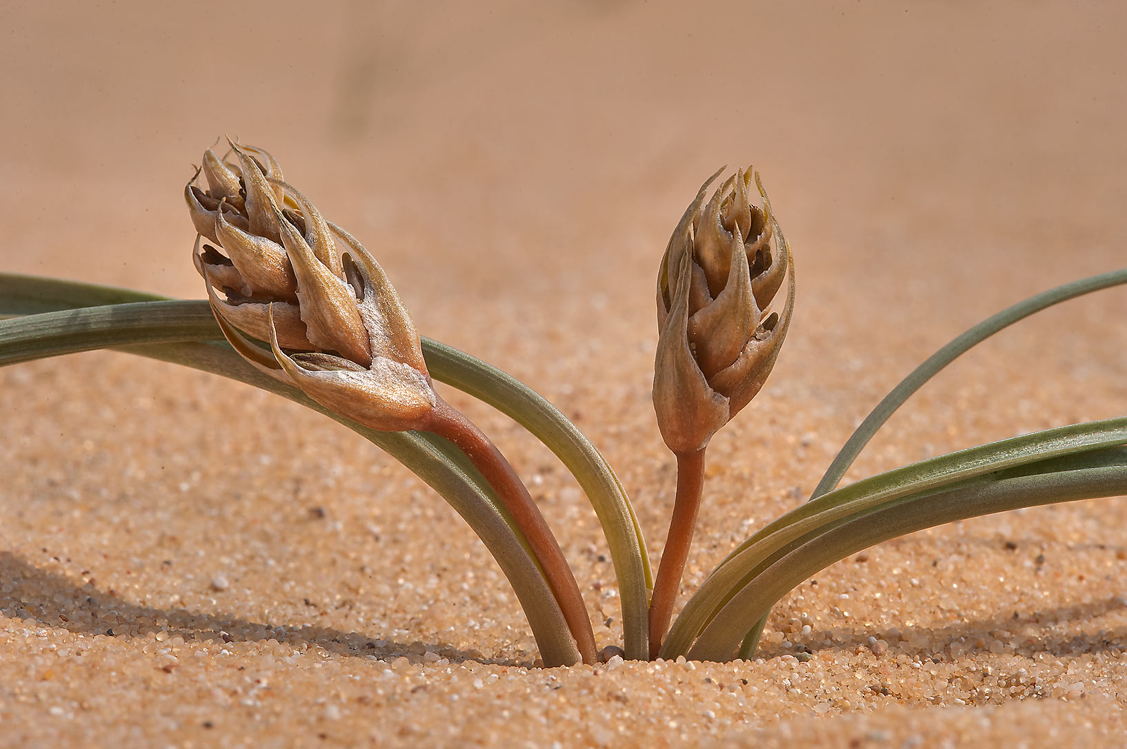 Flower buds of Brown lily (Dipcadi erythraeum...Jebel Al-Nakhsh in south-western Qatar