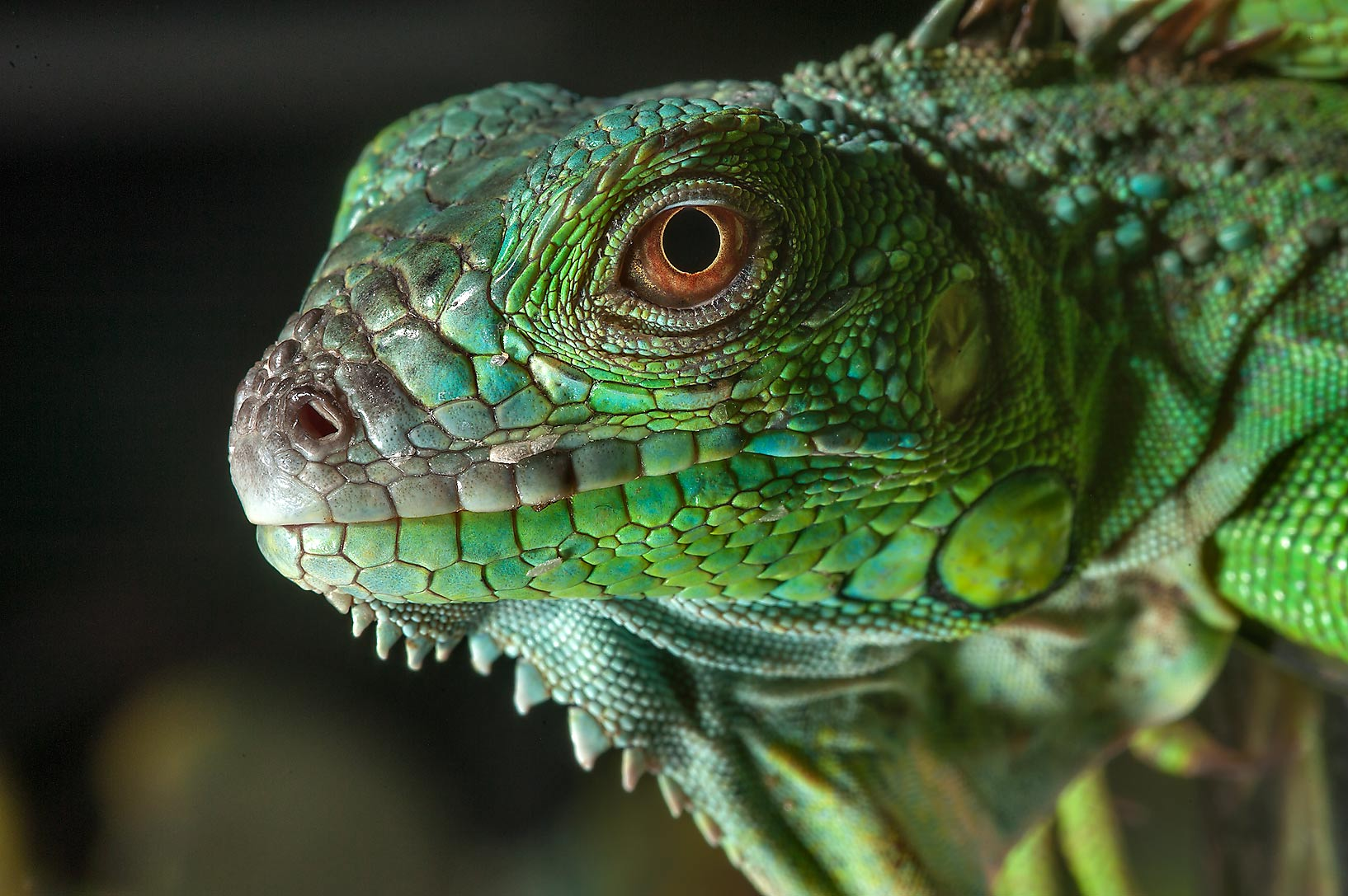 Green iguana lizard for sale in pet section of Souq Waqif (Old Market). Doha, Qatar