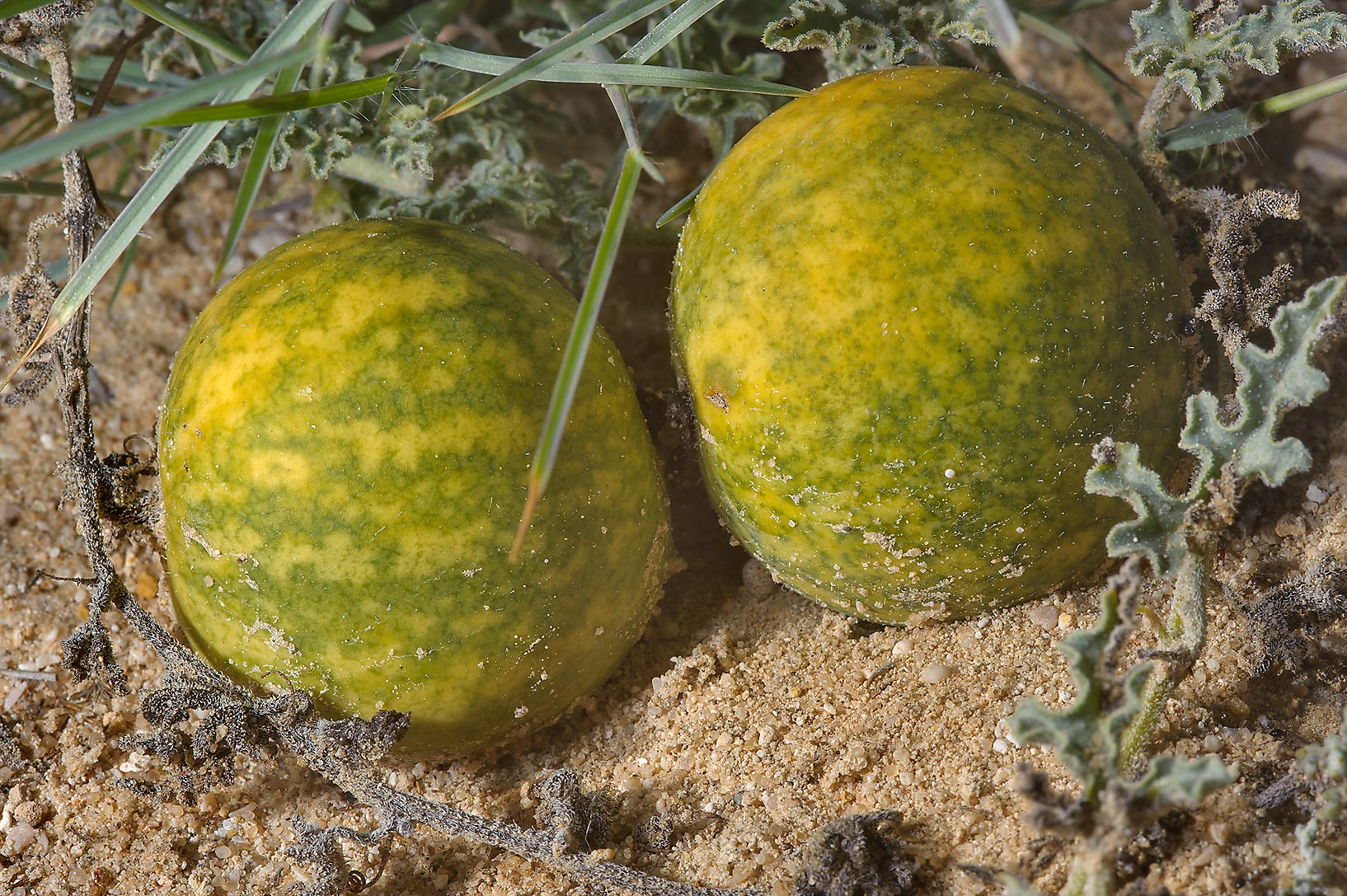 Desert gourd Citrullus colocynthis (bitter apples...to Sawda Natheel in southern Qatar