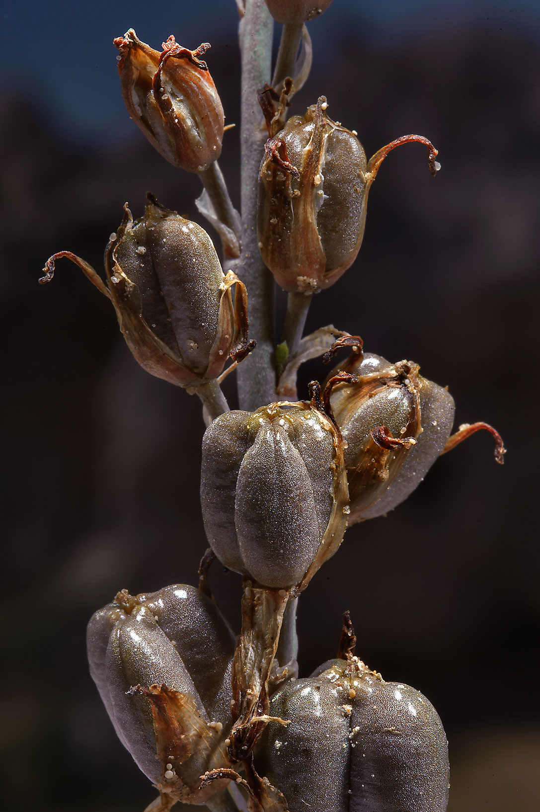 Seeds of Brown Lily (Dipcadi erythraeum...road to Saudi Arabia in southern Qatar