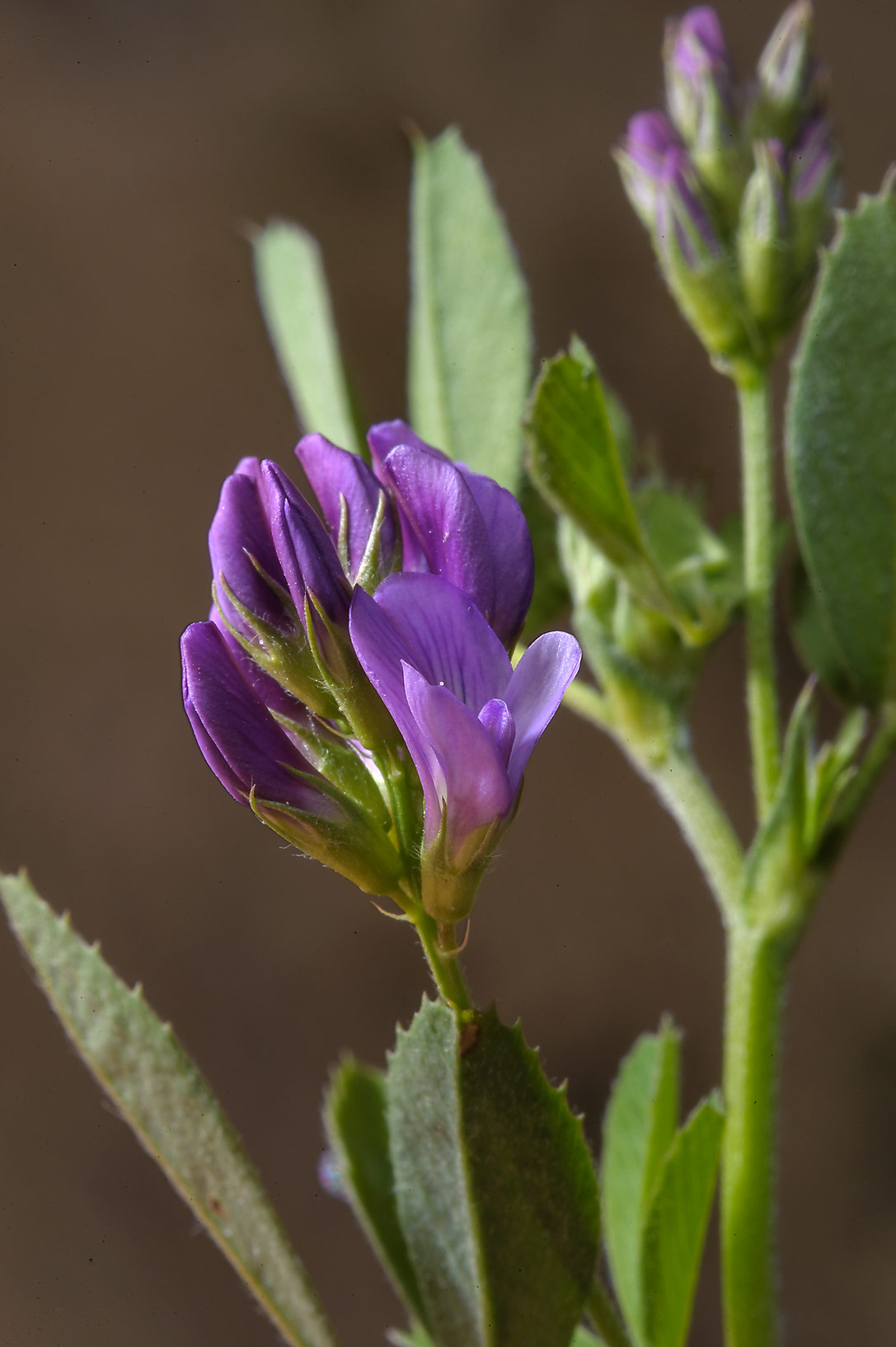 Alfalfa (lucerne, Medicago sativa, local names jet, barseem) in Trainah in southern Qatar