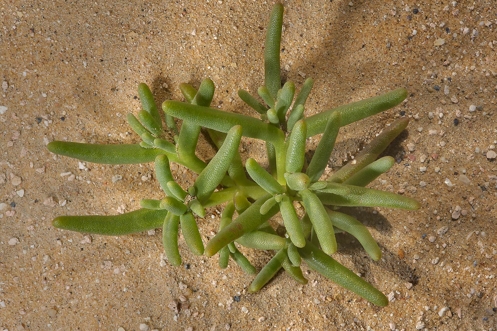 Mesembryanthemum cryptanthum, (Mesembryanthemum...near Umm Bab in south-western Qatar