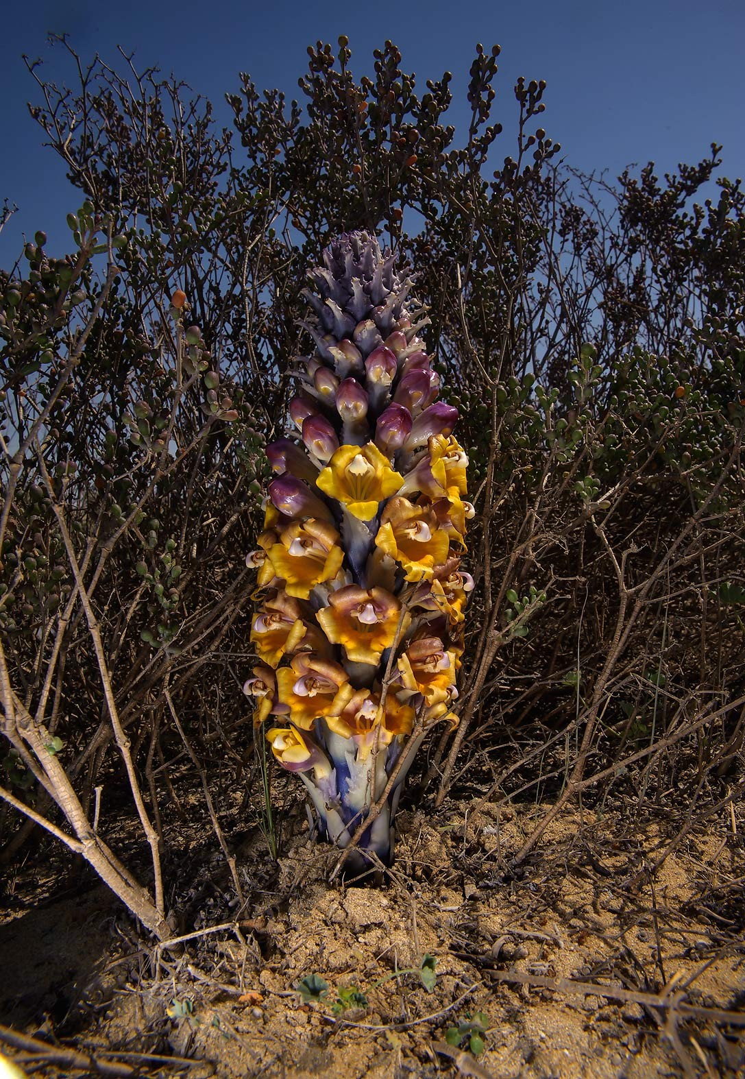 Desert Hyacinth (Cistanche tubulosa, Cistanche...of Umm Bab in south-western Qatar