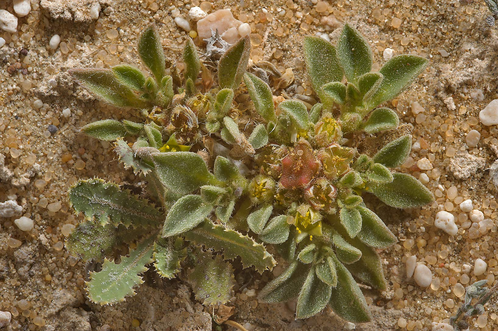 Purslane-leaved aizoon (Aizoon canariense) on...of Umm Bab in south-western Qatar