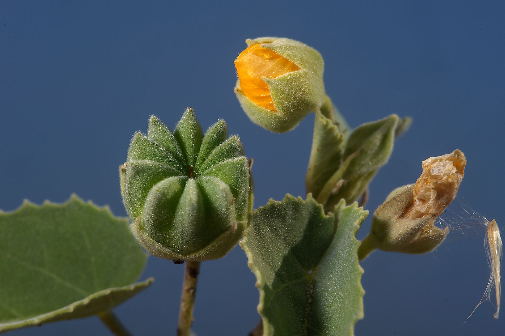 Flower and seeds of Texas Indian-mallow (Abutilon...farms area, in north-western Qatar
