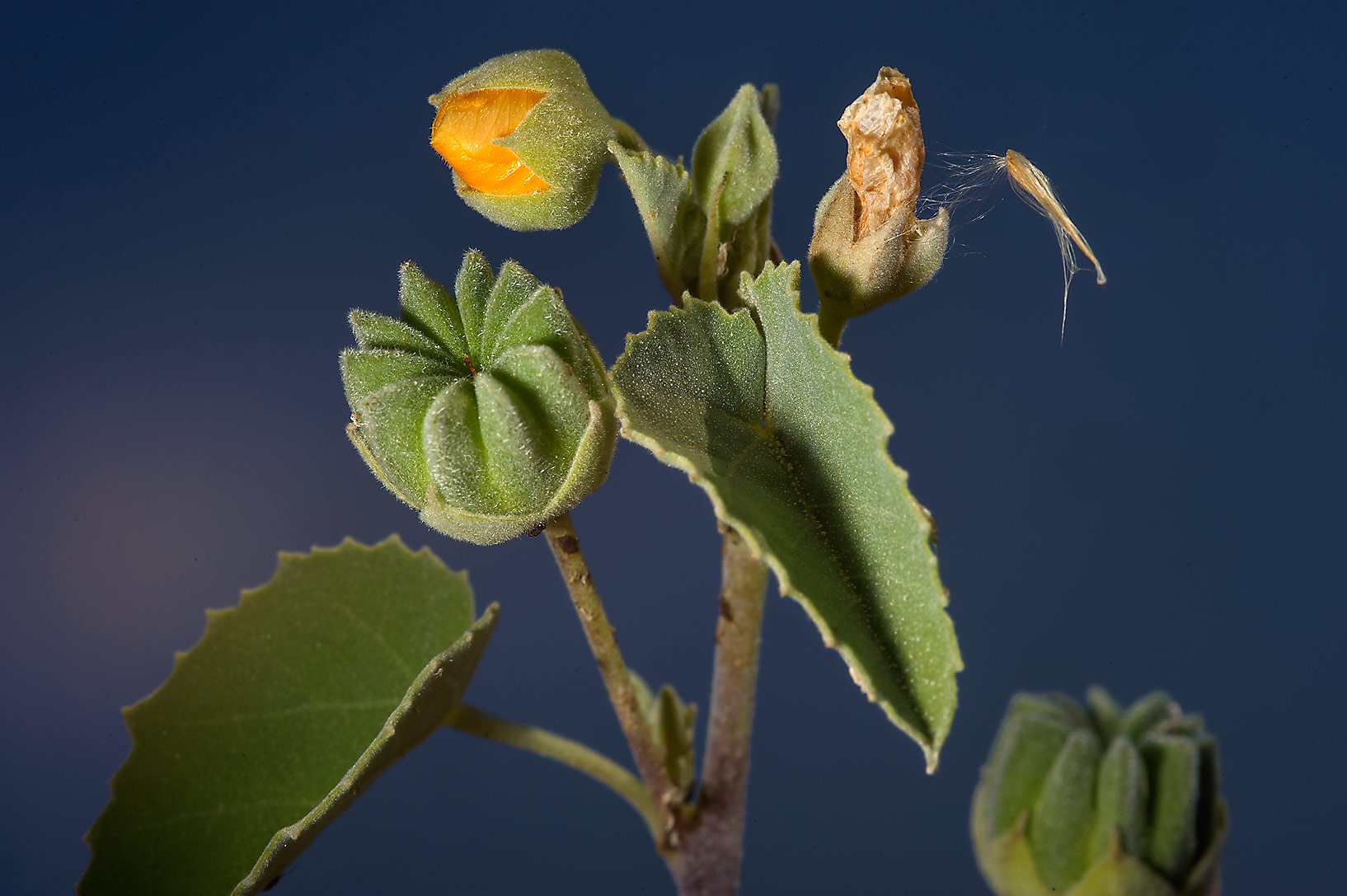 Texas Indian-mallow (Abutilon fruticosum...farms area, in north-western Qatar