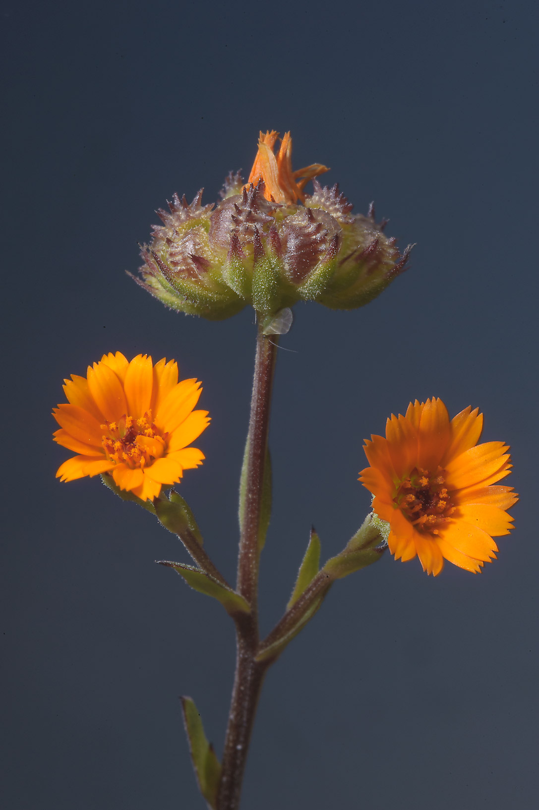 Flowers of Field Marigold (Calendula arvensis...farms area, in north-western Qatar