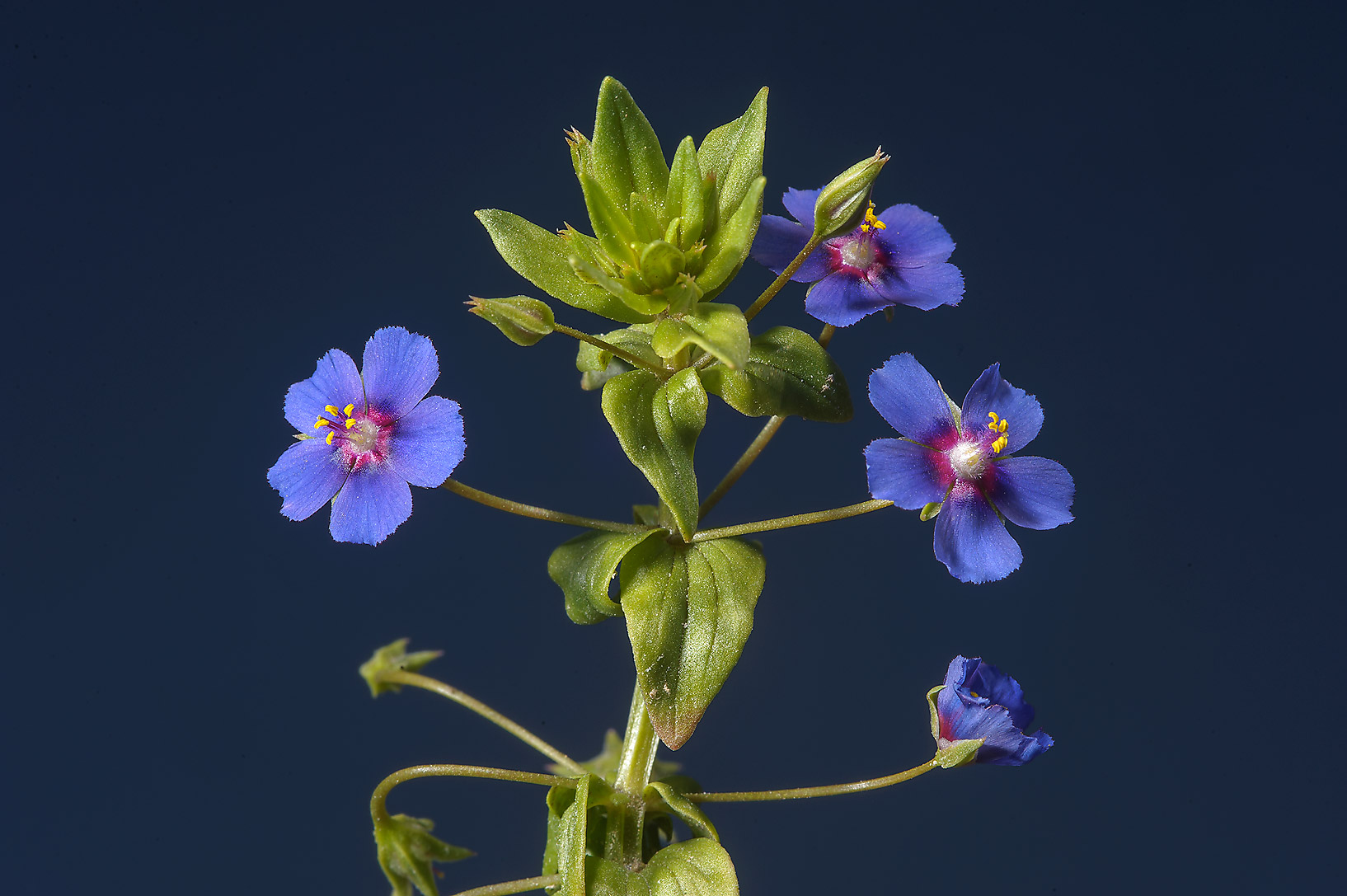 Blooming scarlet pimpernel (Anagallis arvensis...farms area, in north-western Qatar
