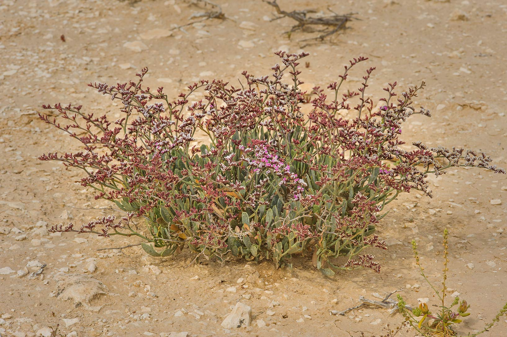 Sea Lavender (Limonium axillare, Statice...of Ras Laffan farms. Northern Qatar