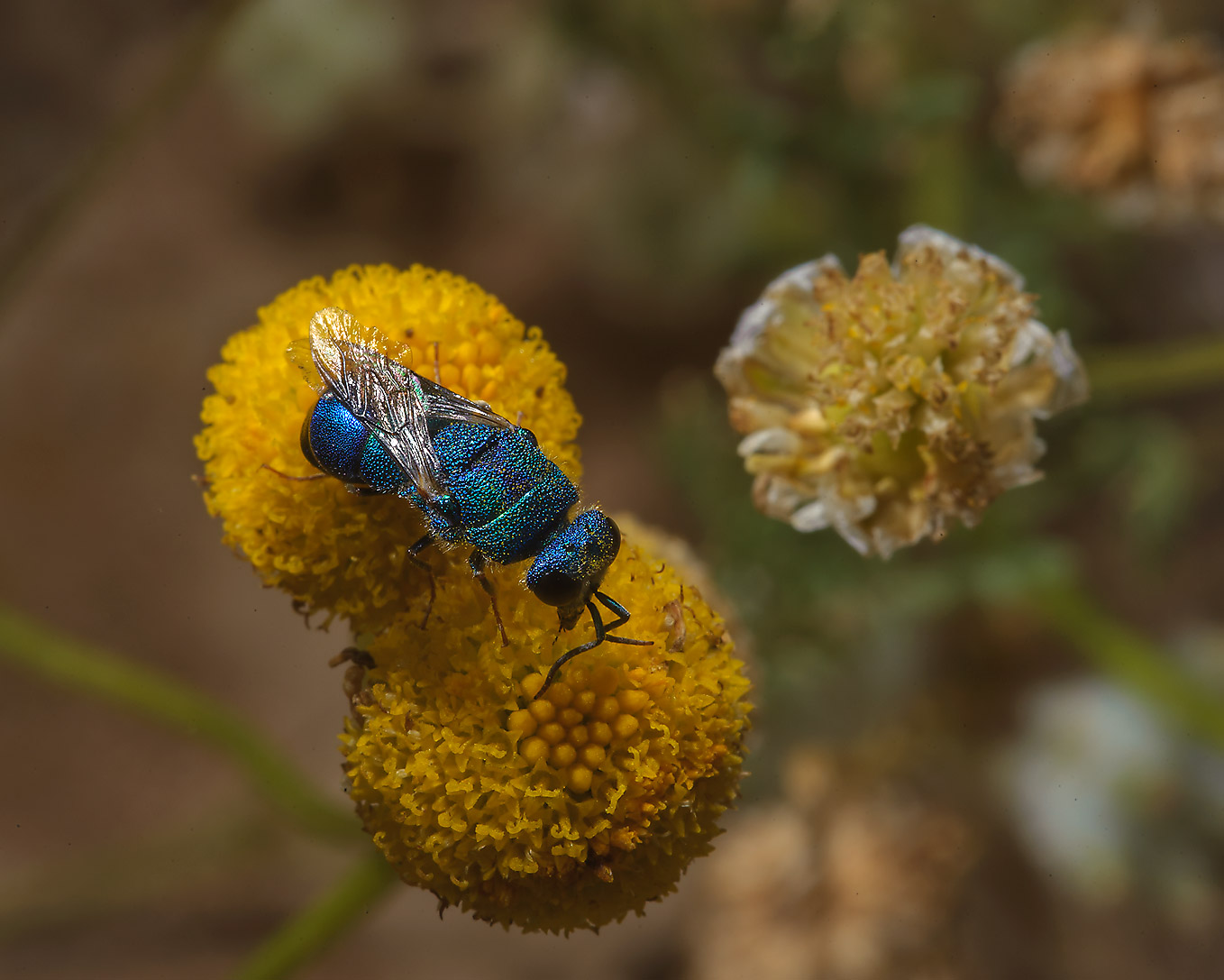 Green Metallic Bee (Agapostemon) on flowers of...of Ras Laffan farms. Northern Qatar