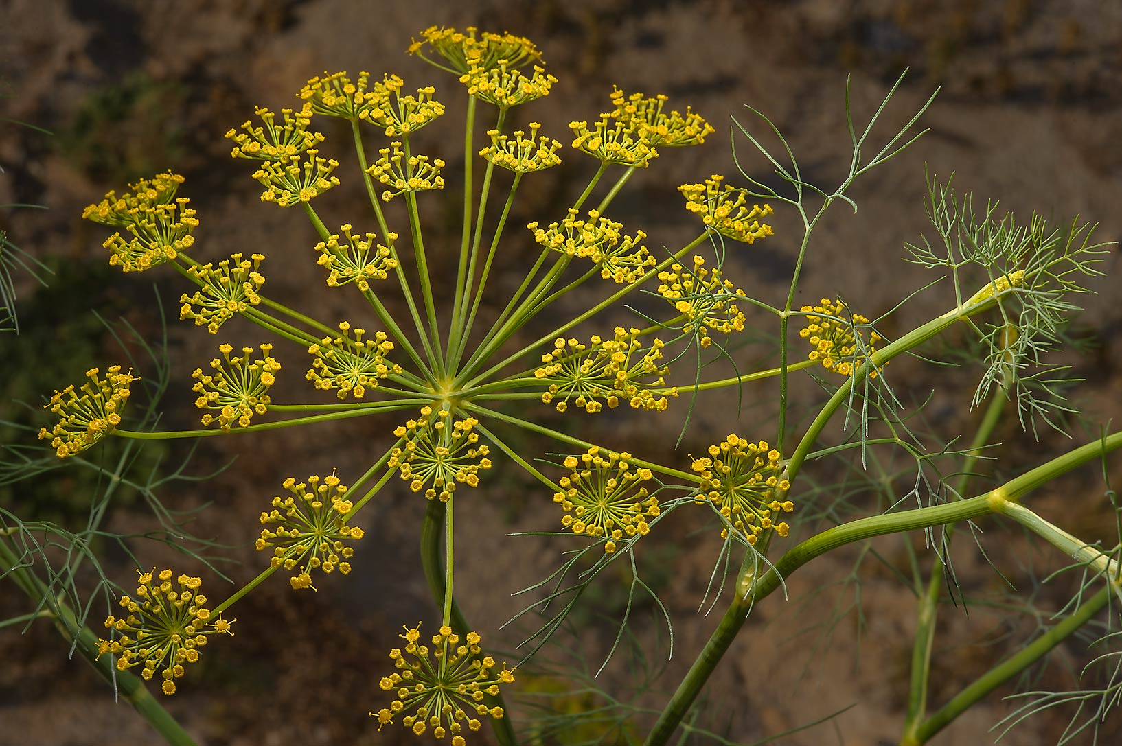 Seeds of dill (Anethum graveolens, local names...of Salwa Rd. in south-western Qatar